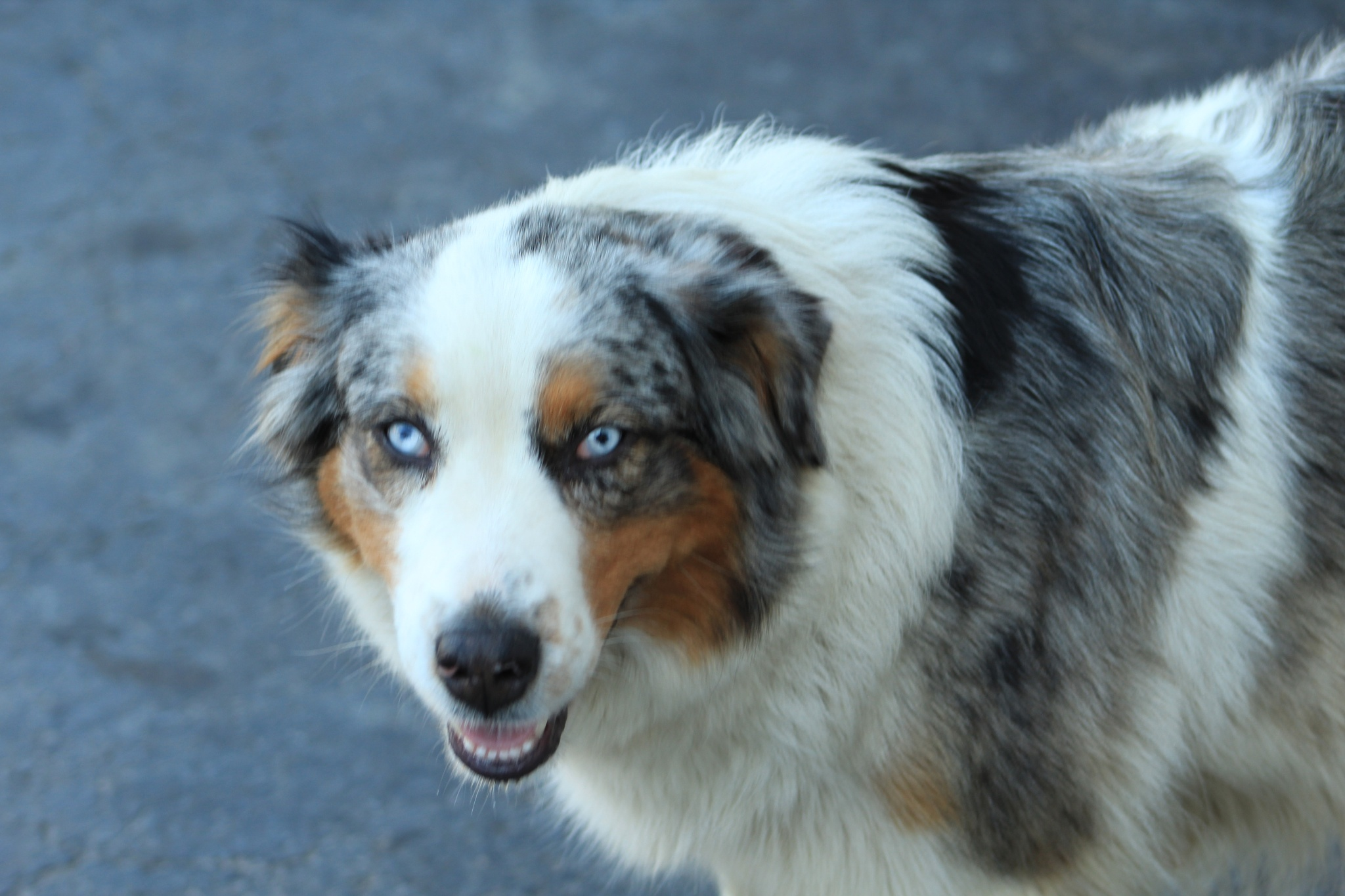 Lucy (Australian Shepherd)  by queenofdahouse