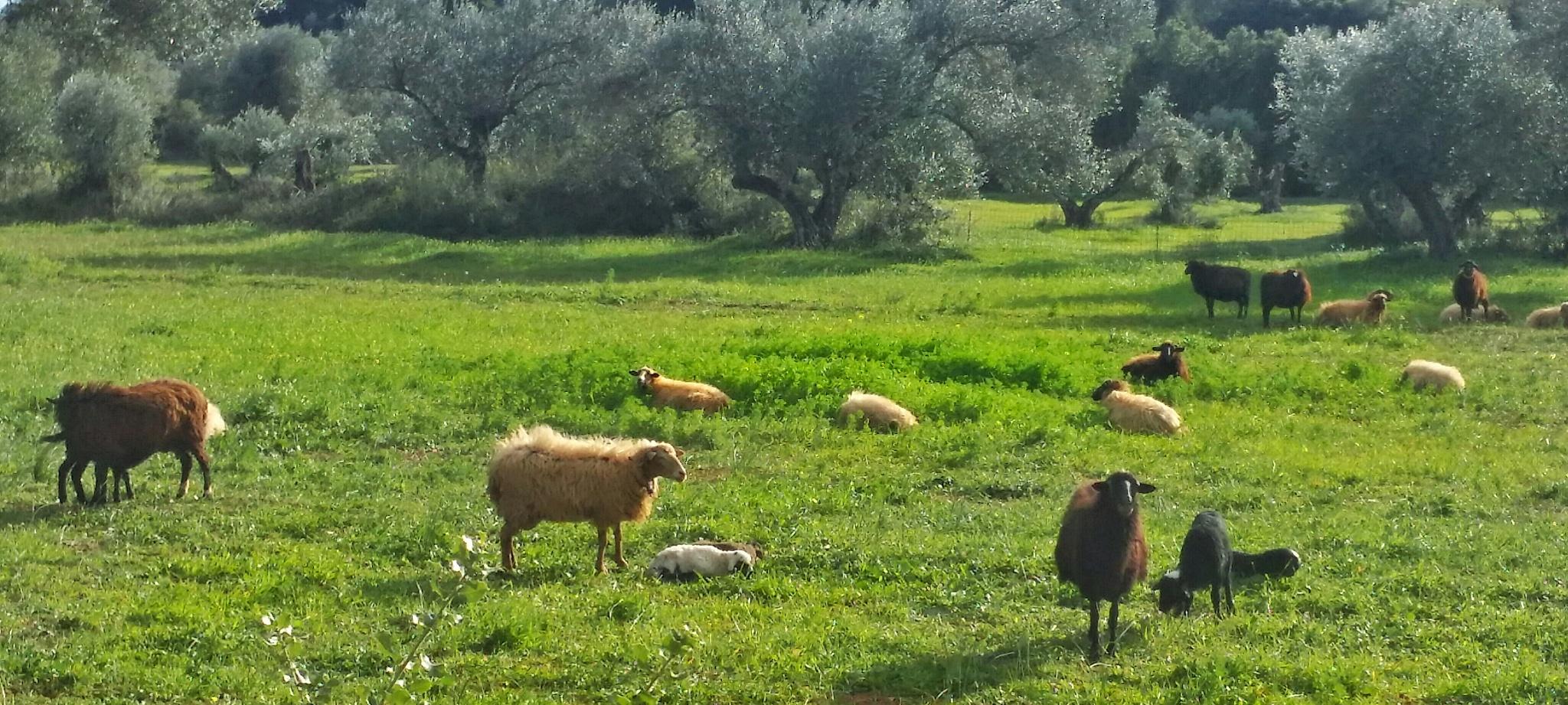 Sheep in the field by vasilis fragiskatos