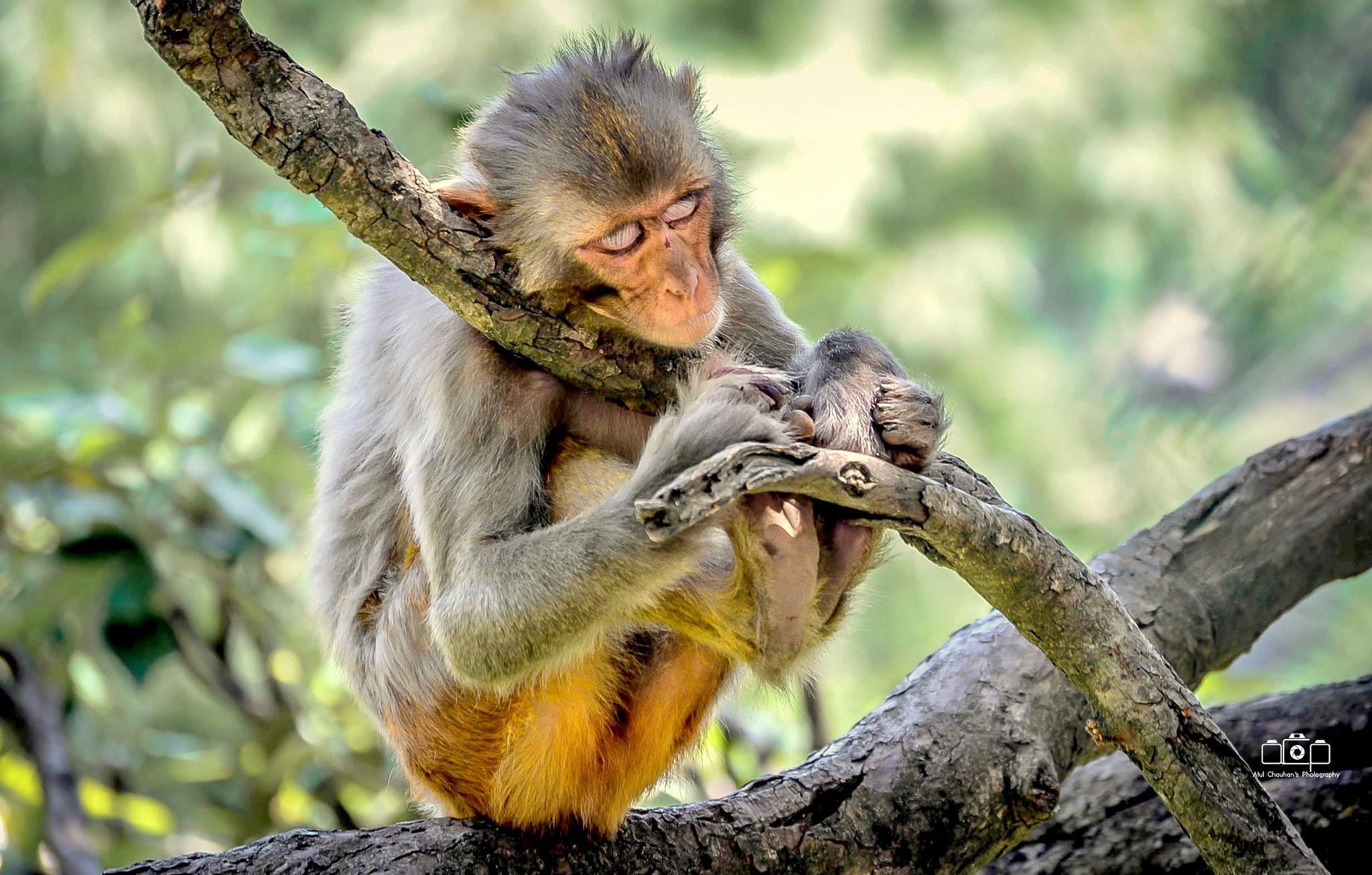 Sleeping Monkey  by Atul Chauhan