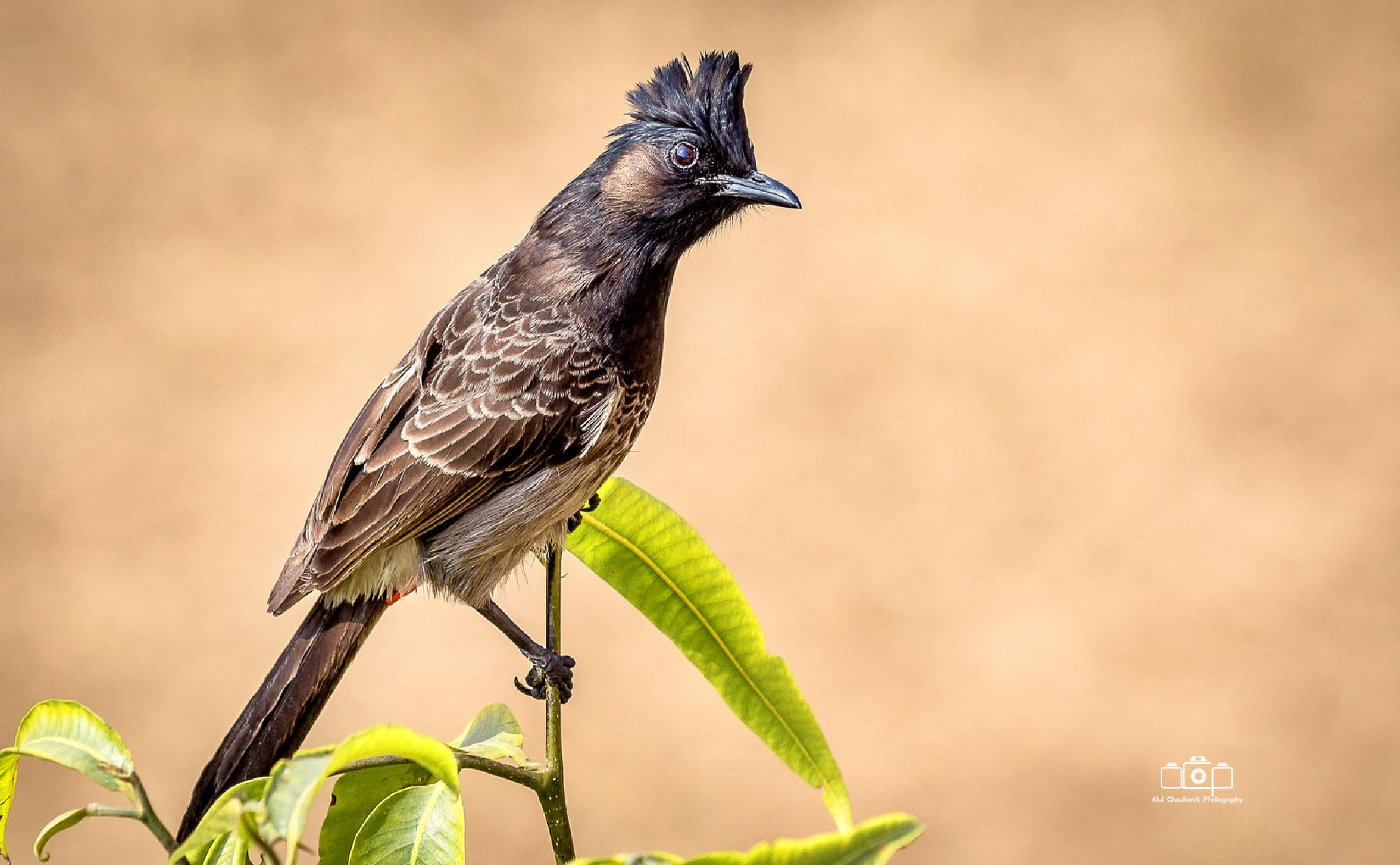 Red-whishkered Bulbul by Atul Chauhan