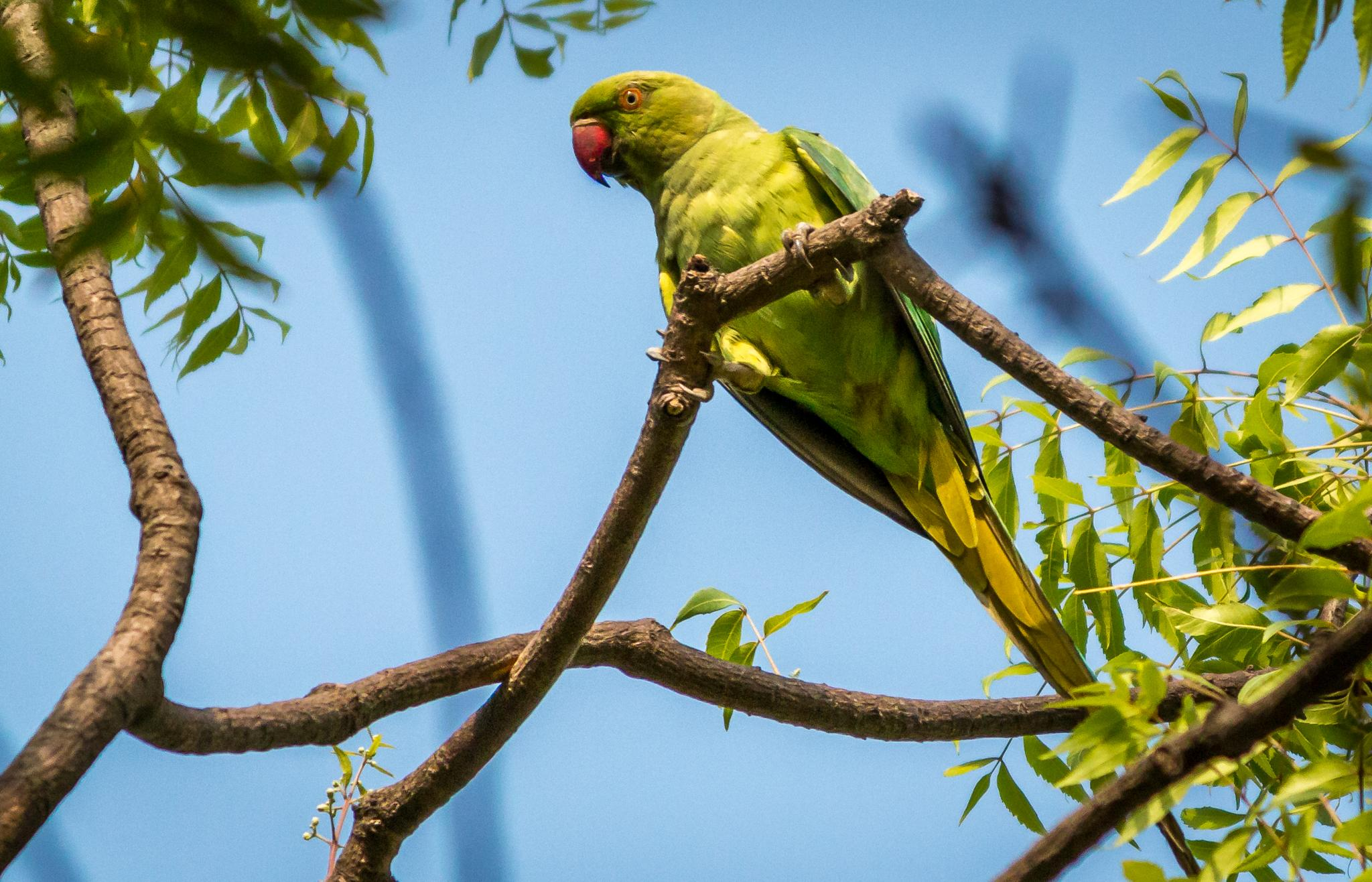 Parrot Bird by Atul Chauhan