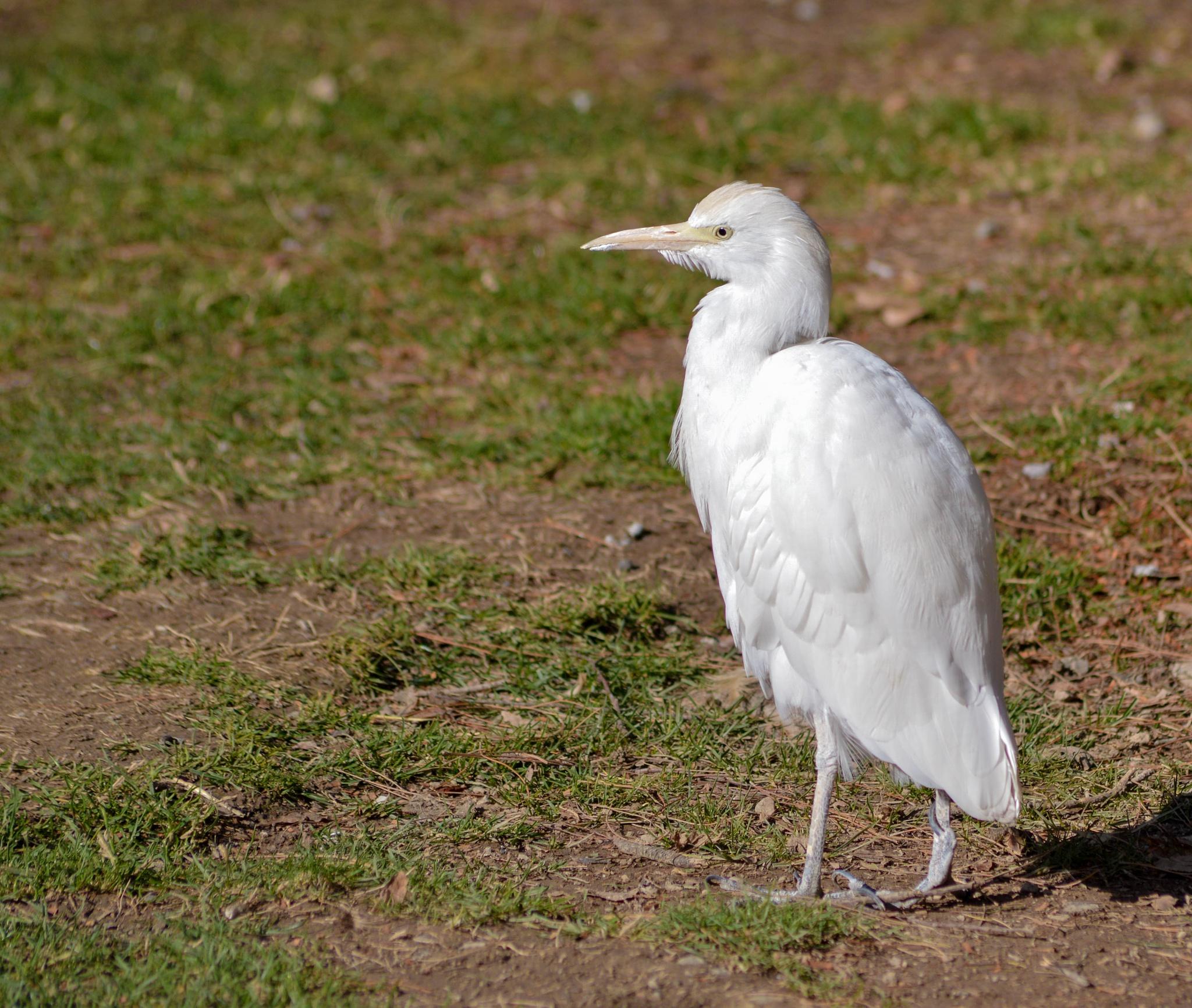 The White Bird by Kaiser76