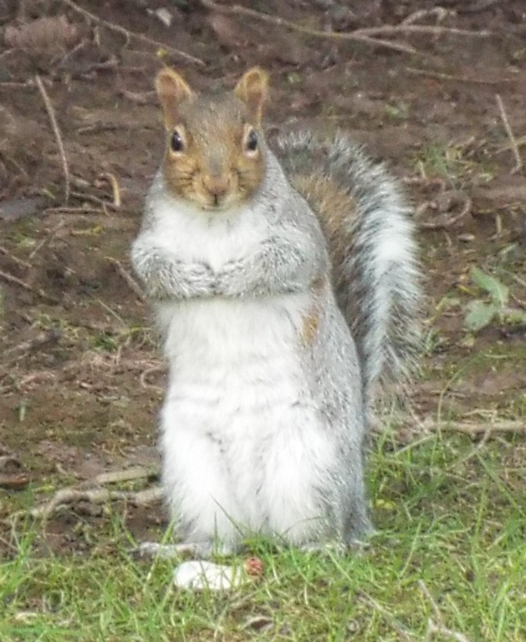 Belle Vue squirrel. by hilarymayo