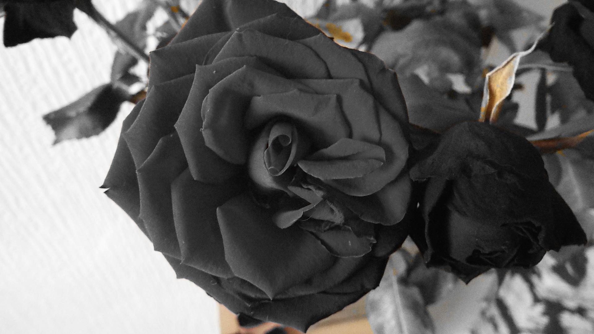 black rose. by hilarymayo