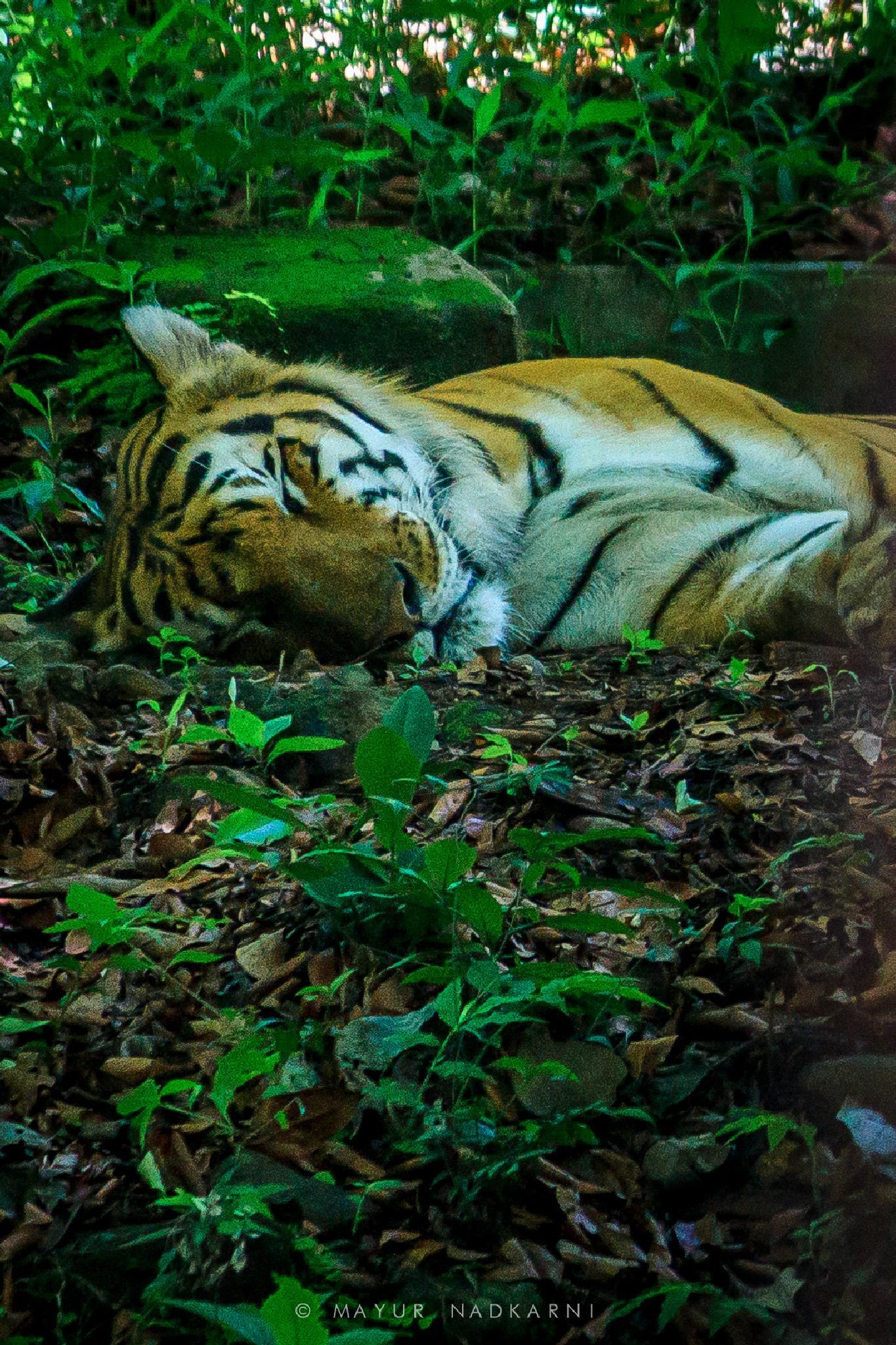 Eye of the Tiger by Mayur Nadkarni