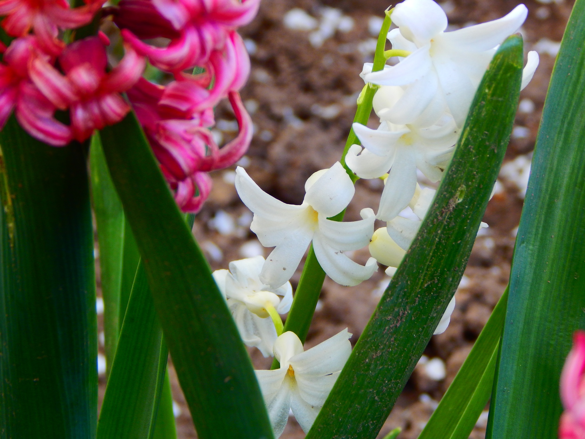 Pink and White Pretties by Lorie B.