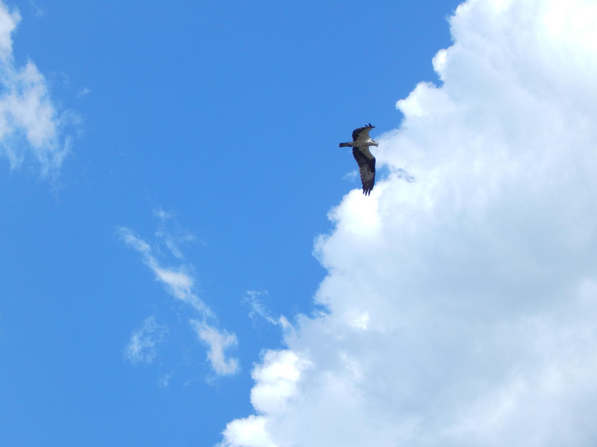 Osprey by Lorie B.