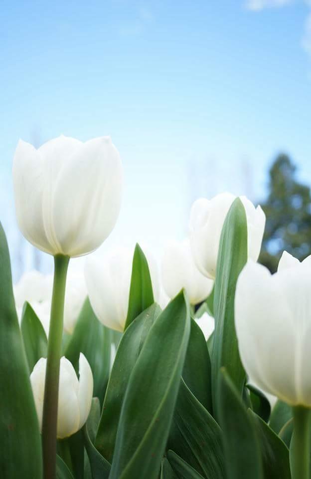 White Tulips by kerriegoodman