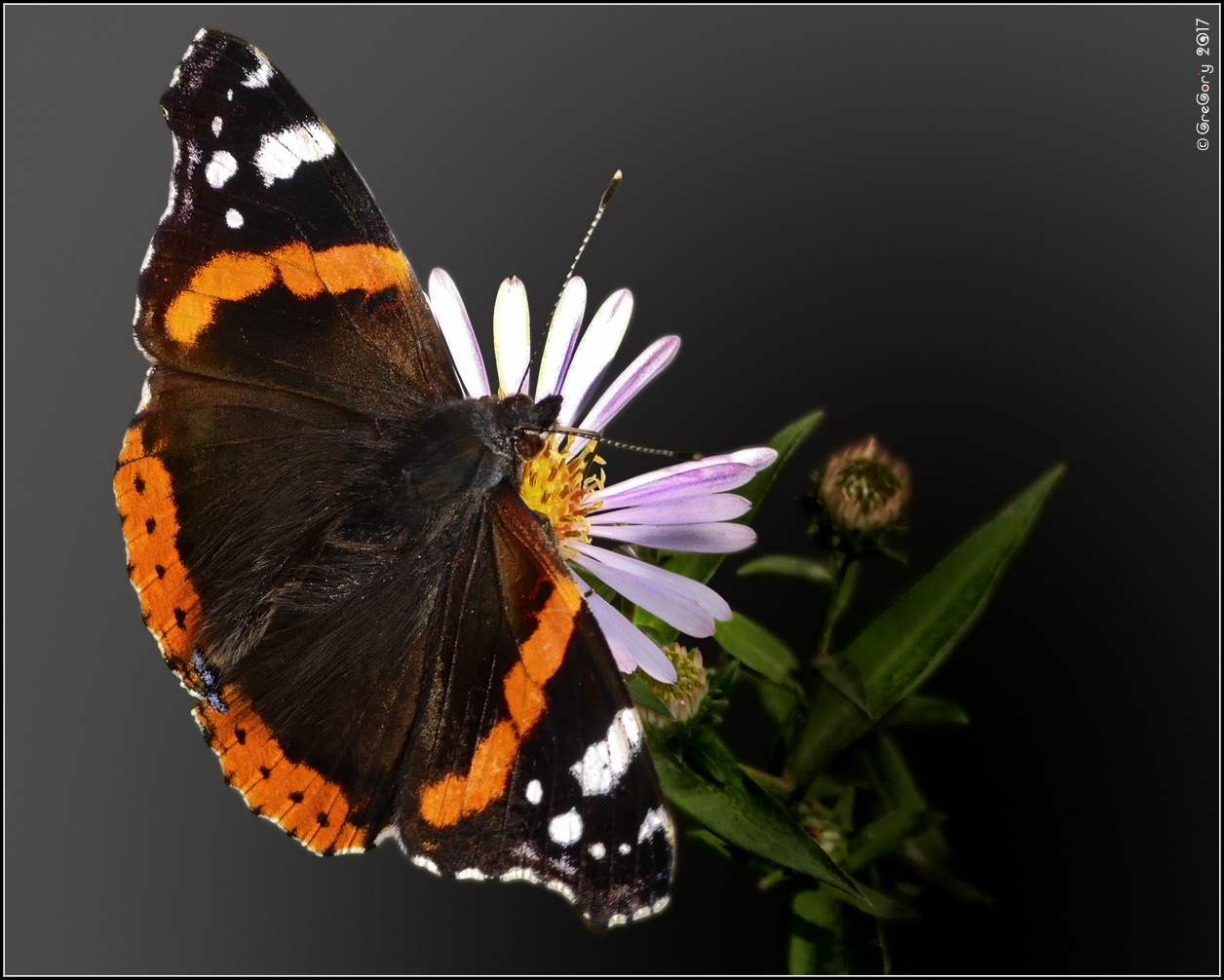 Сонцевик адмірал  * Red Admiral or Previously, Red Admirable  * Vanessa atalanta by CreGory