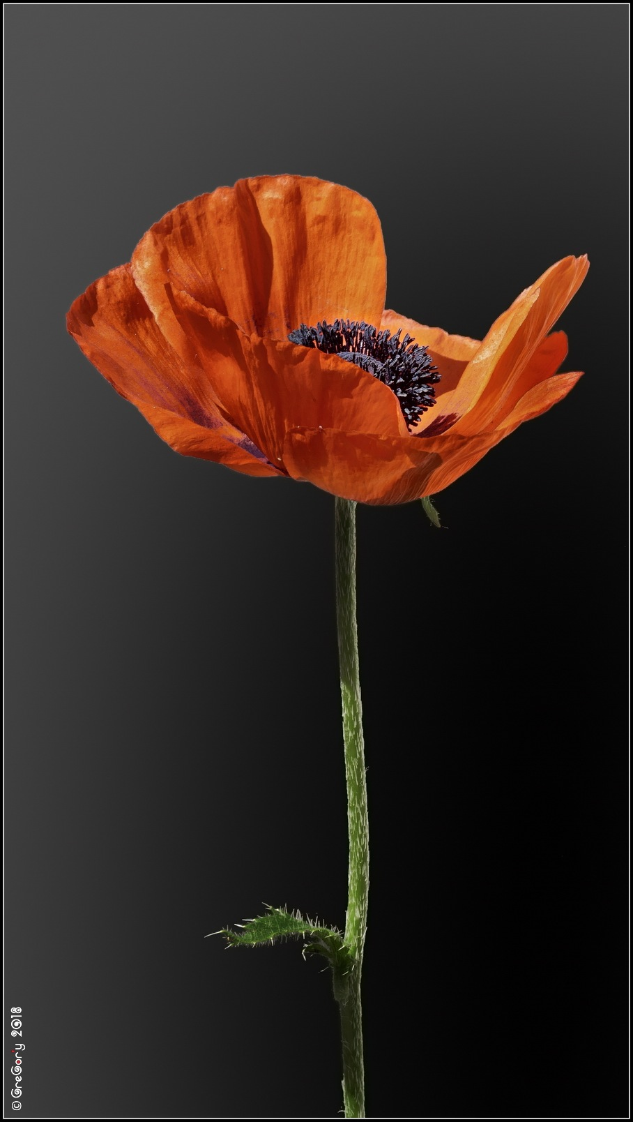 Мак / Poppy / Papaver by CreGory