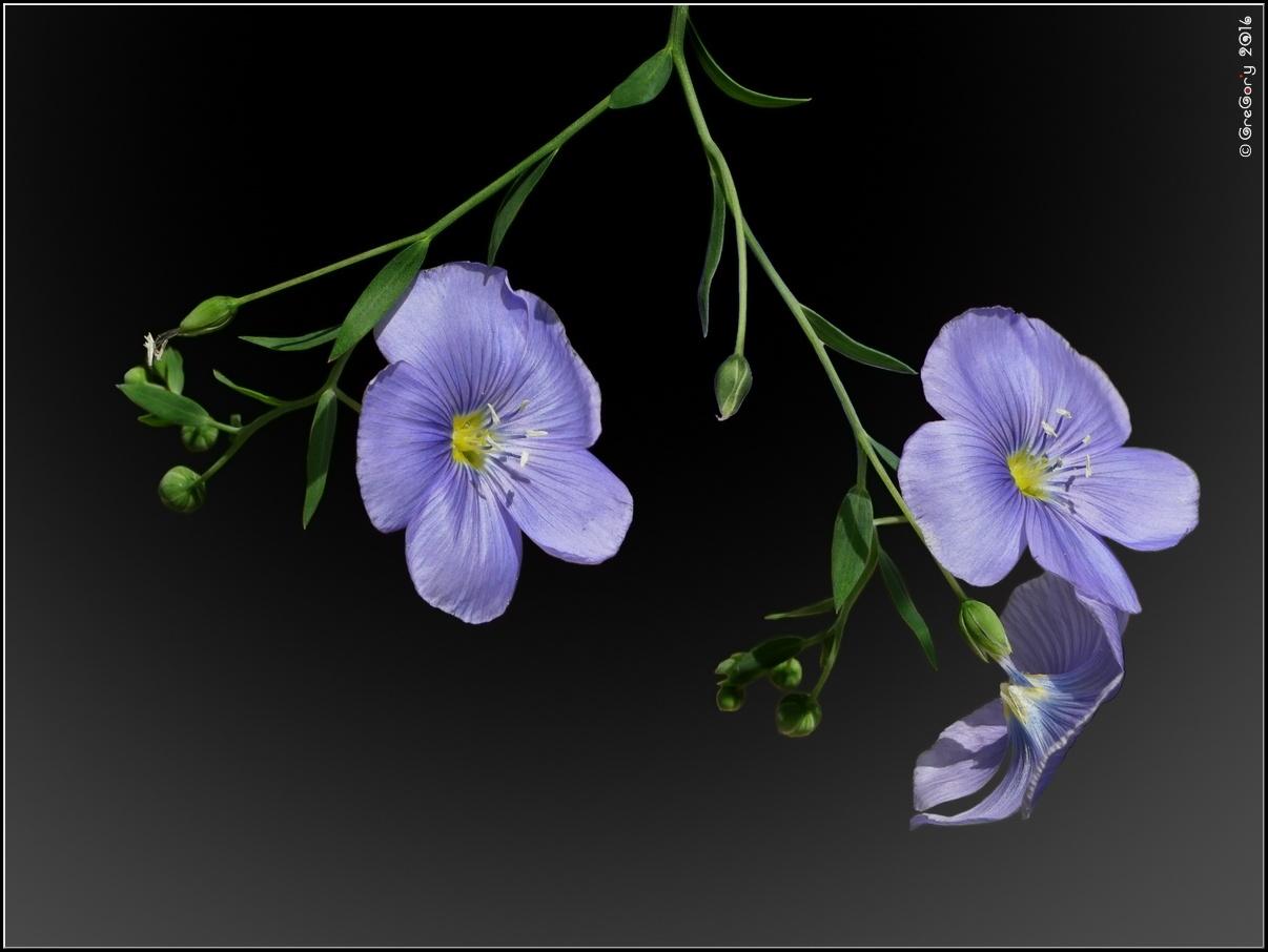 * Льон-довгунець, льон-кучерявець або льон-кудрявець / Flax or Linseed / Linum usitatissimum  by CreGory