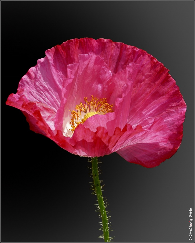 Мак / Poppy / Papaver by CreGory