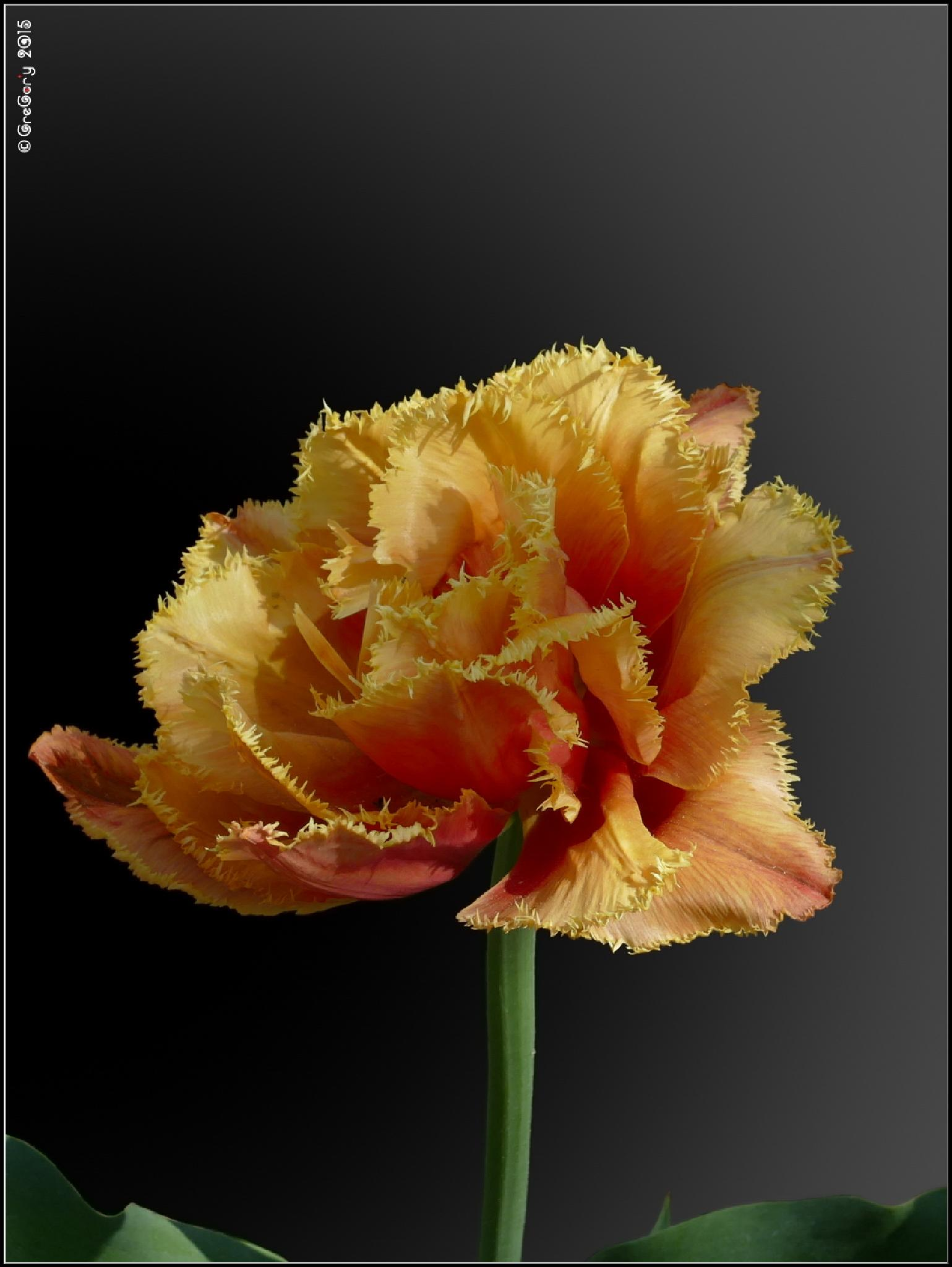Тюльпан / Tulip / Tulipa by CreGory