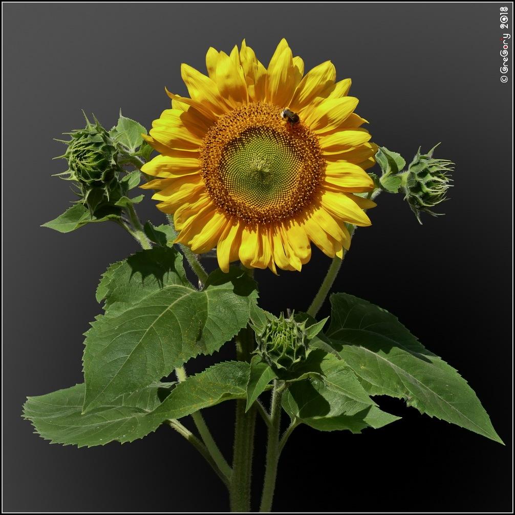 Соняшник / Sunflower / Helianthus by CreGory