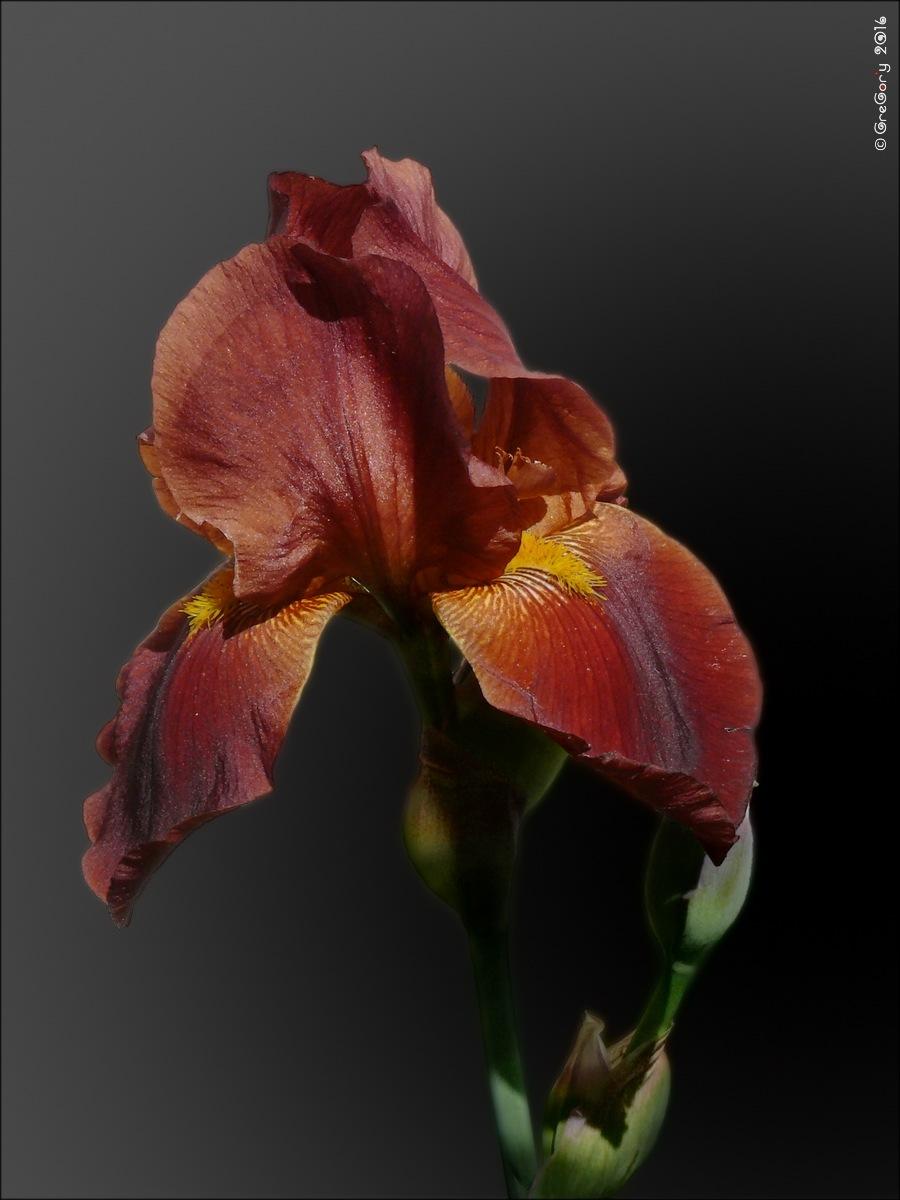 Півники / Iris by CreGory