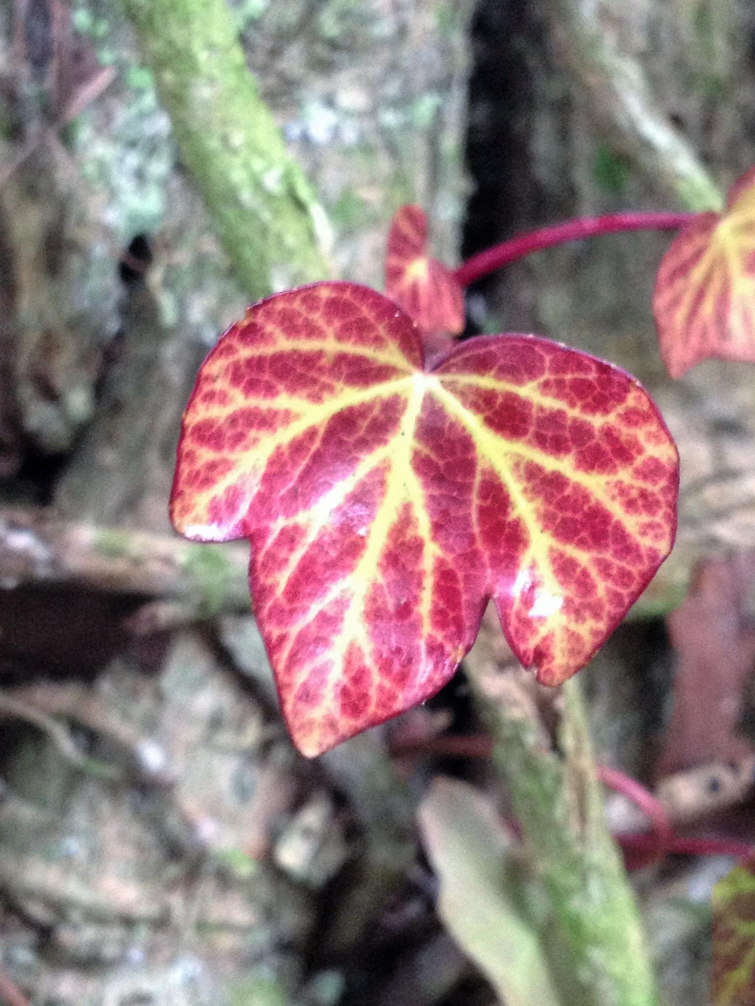 Ivy by Bev Hynes