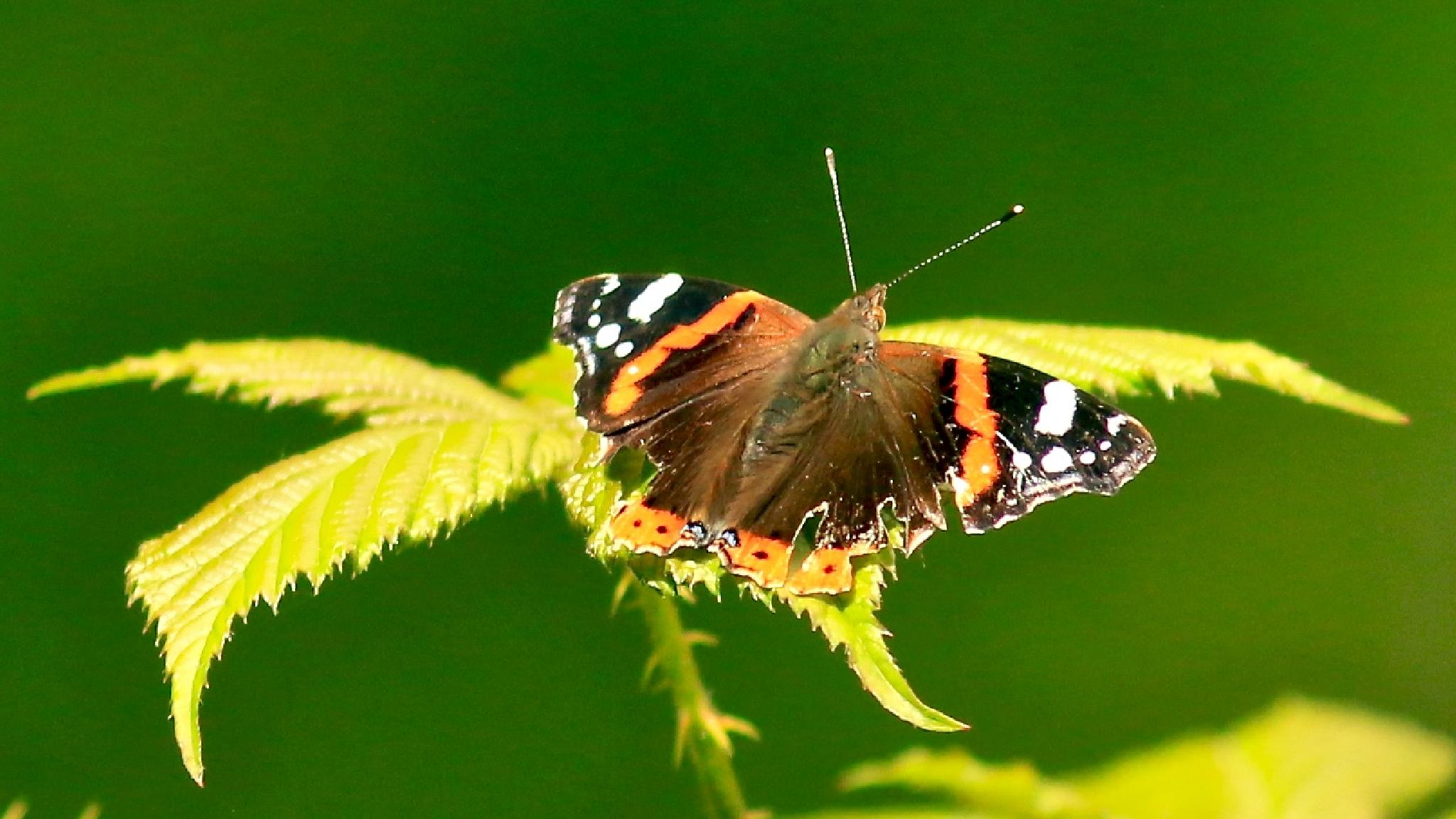 Painted Lady by terrysims