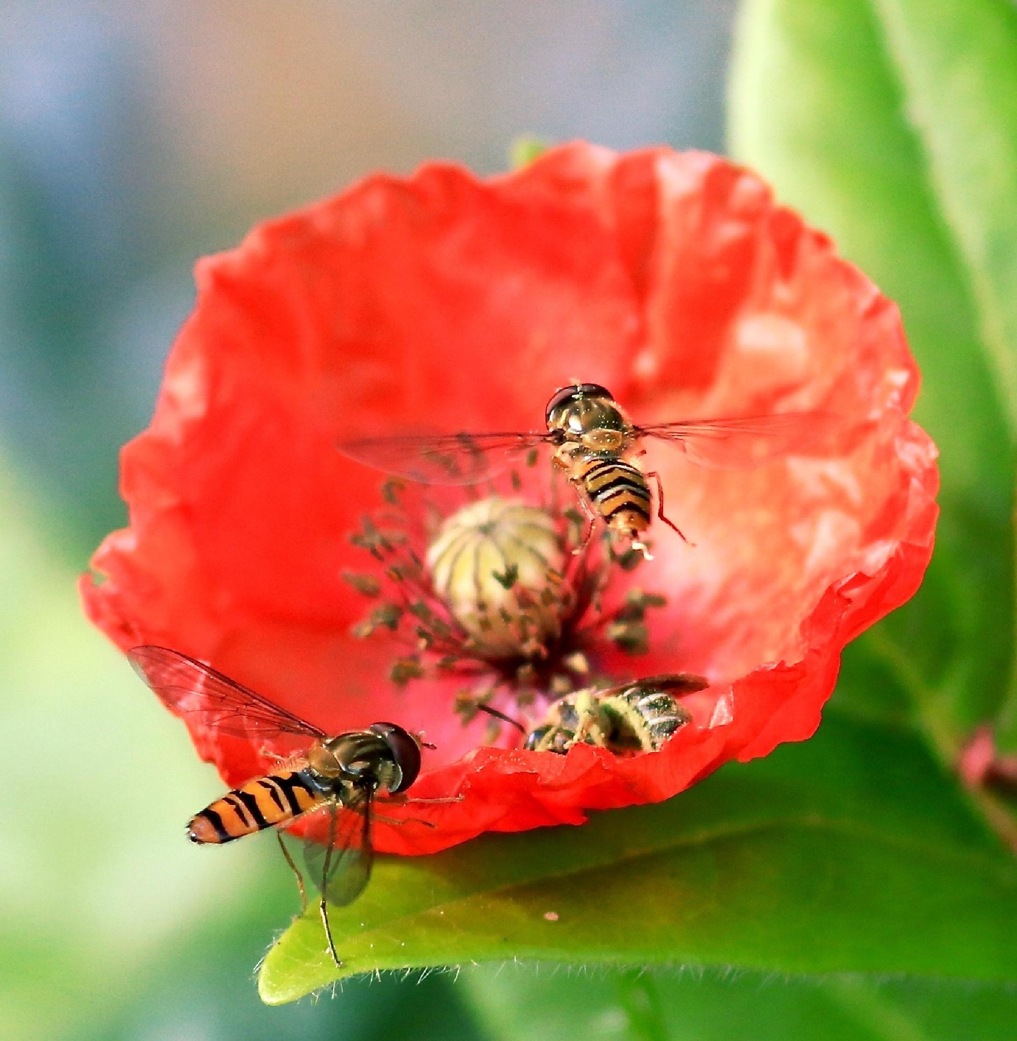 Photo in Nature #hoverfly #garden #poppy