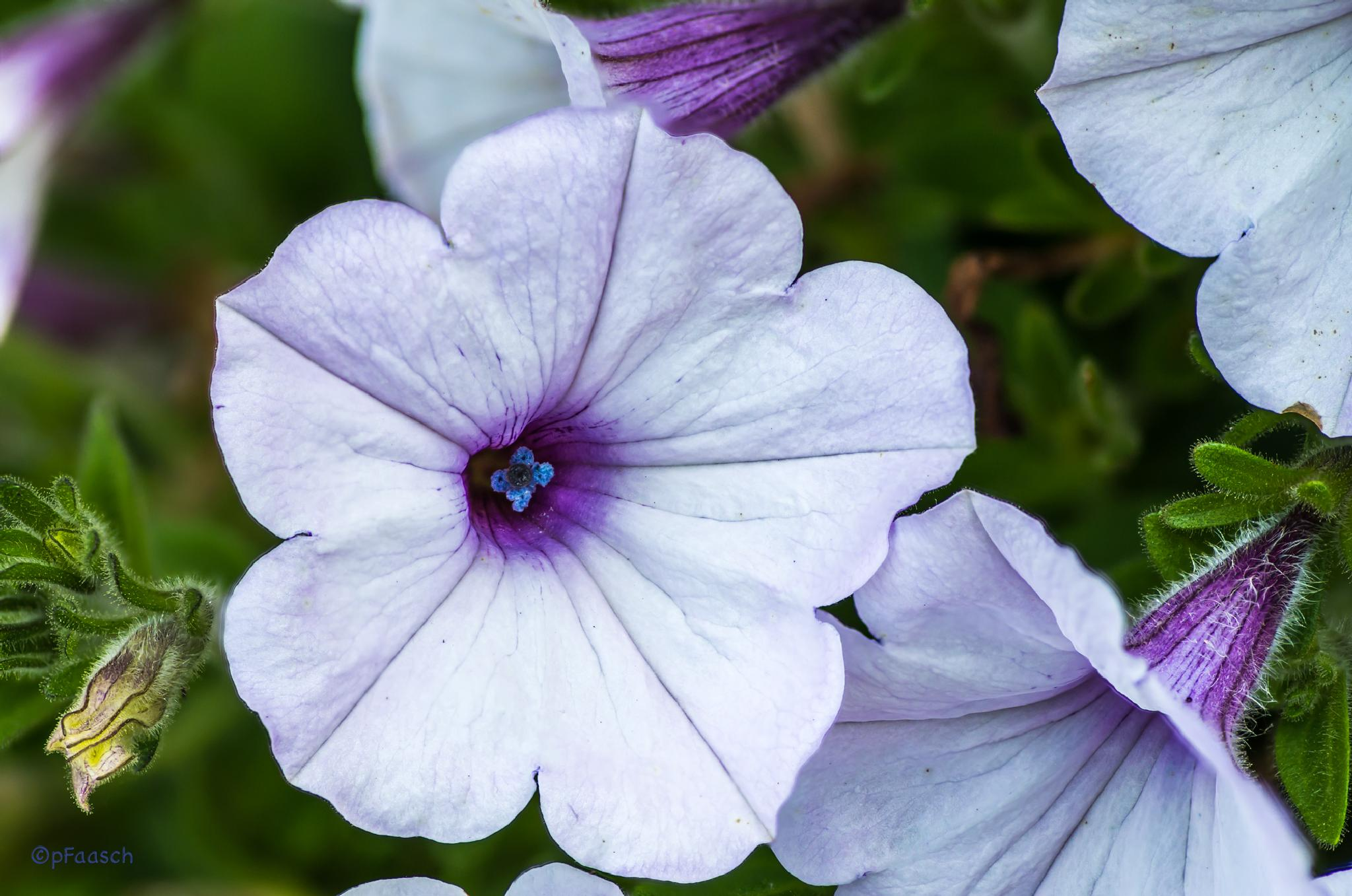 Petunia 5 by Peter F