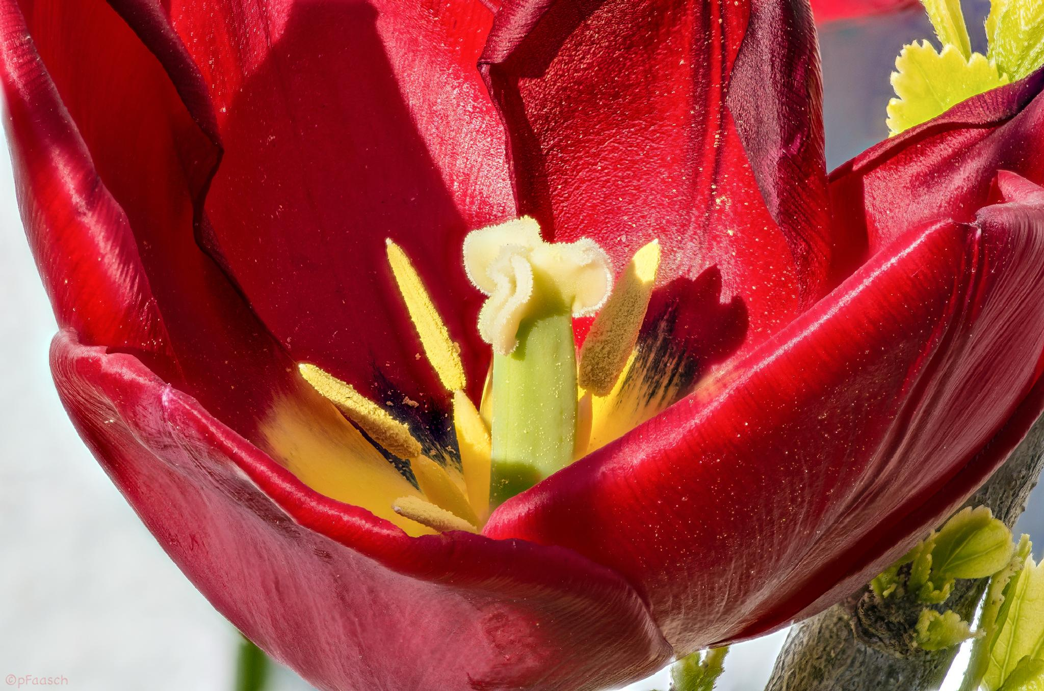 tulip by Peter F