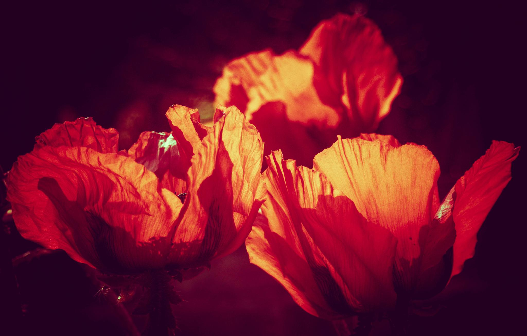 Blazing poppies by Helen Fenner