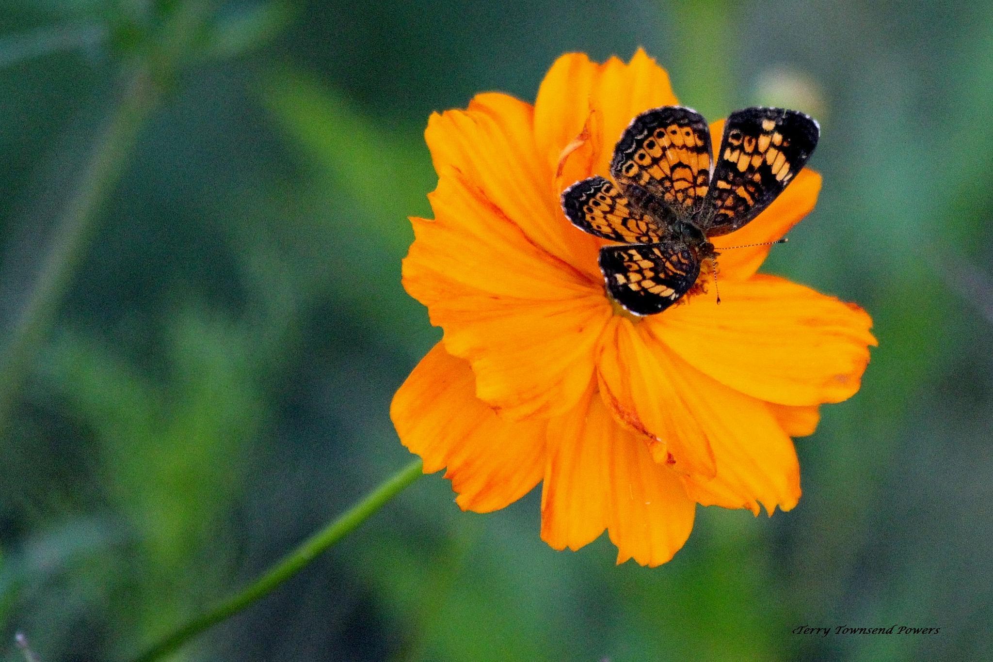 Butterfly on Wildflower II by Terry Powers