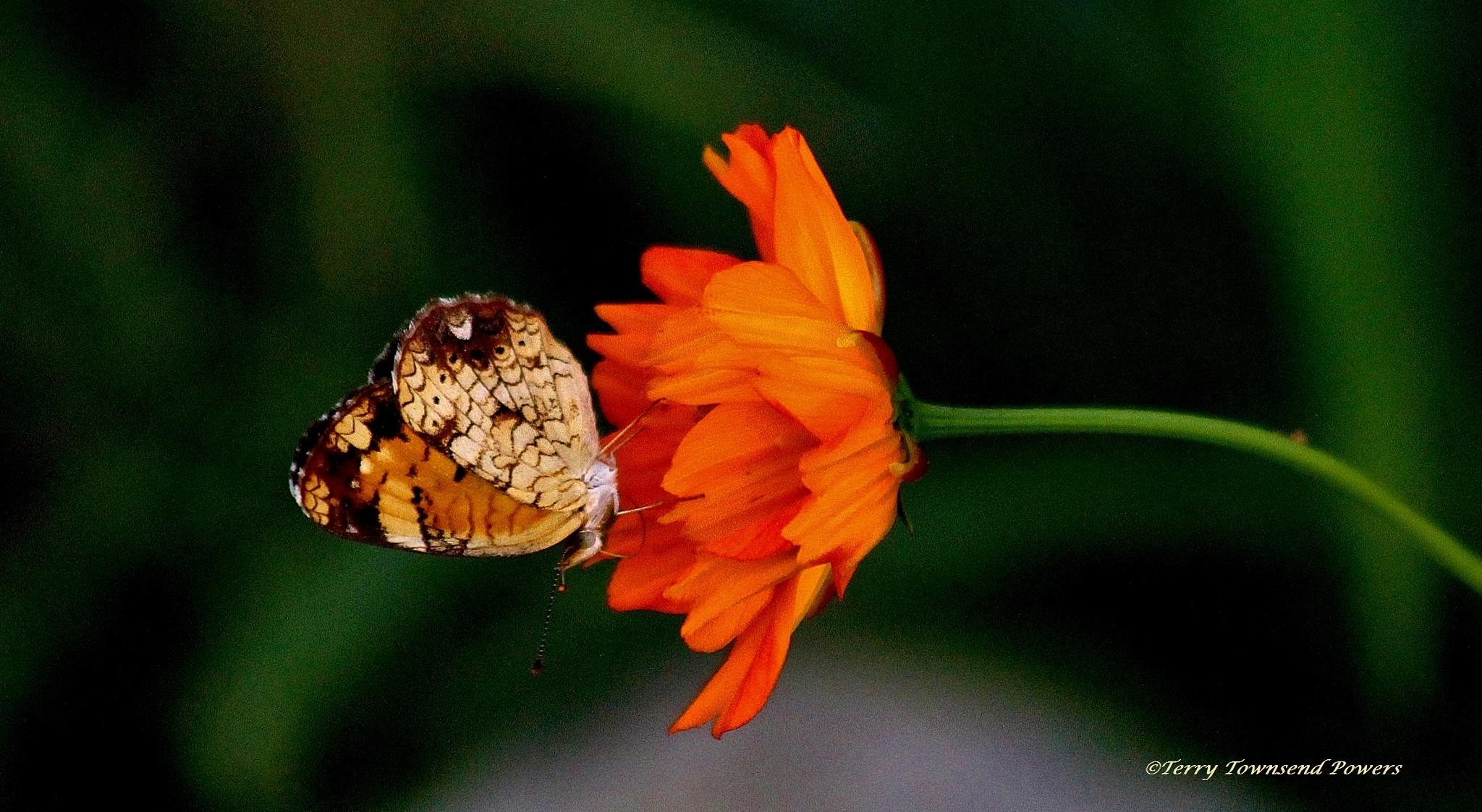 Butterfly on Wildflower by Terry Powers