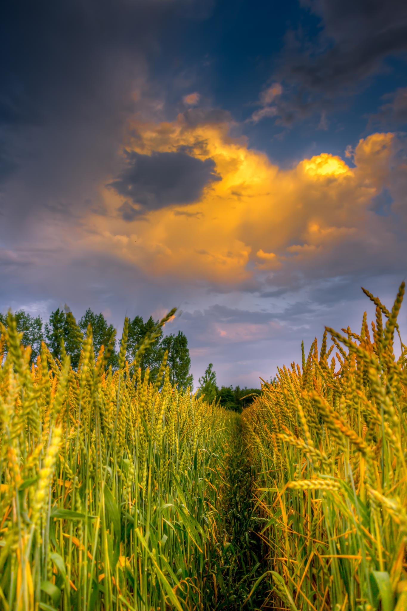 corn and clouds by matthewlawes123