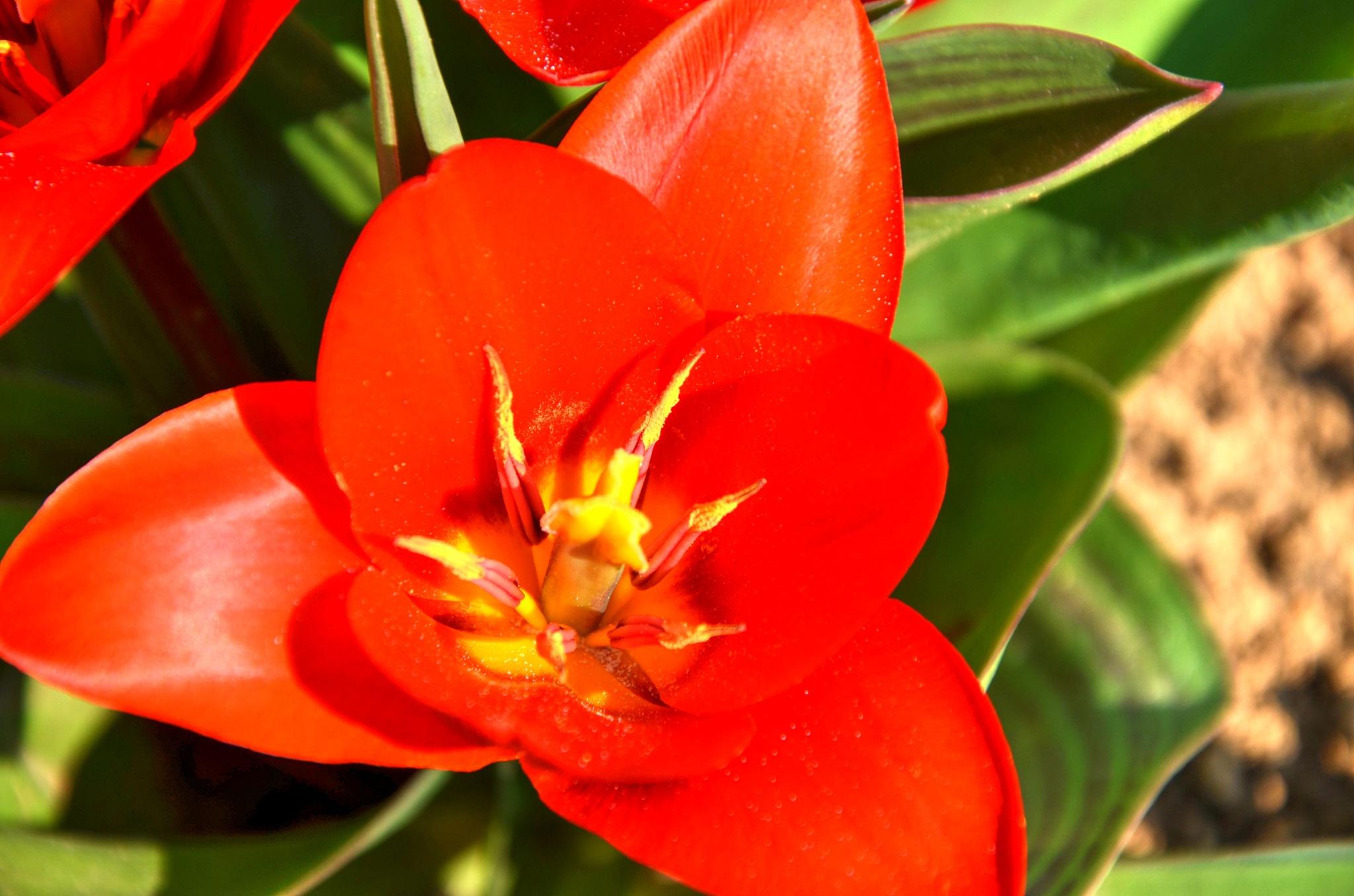Tulip by Dejan Novak