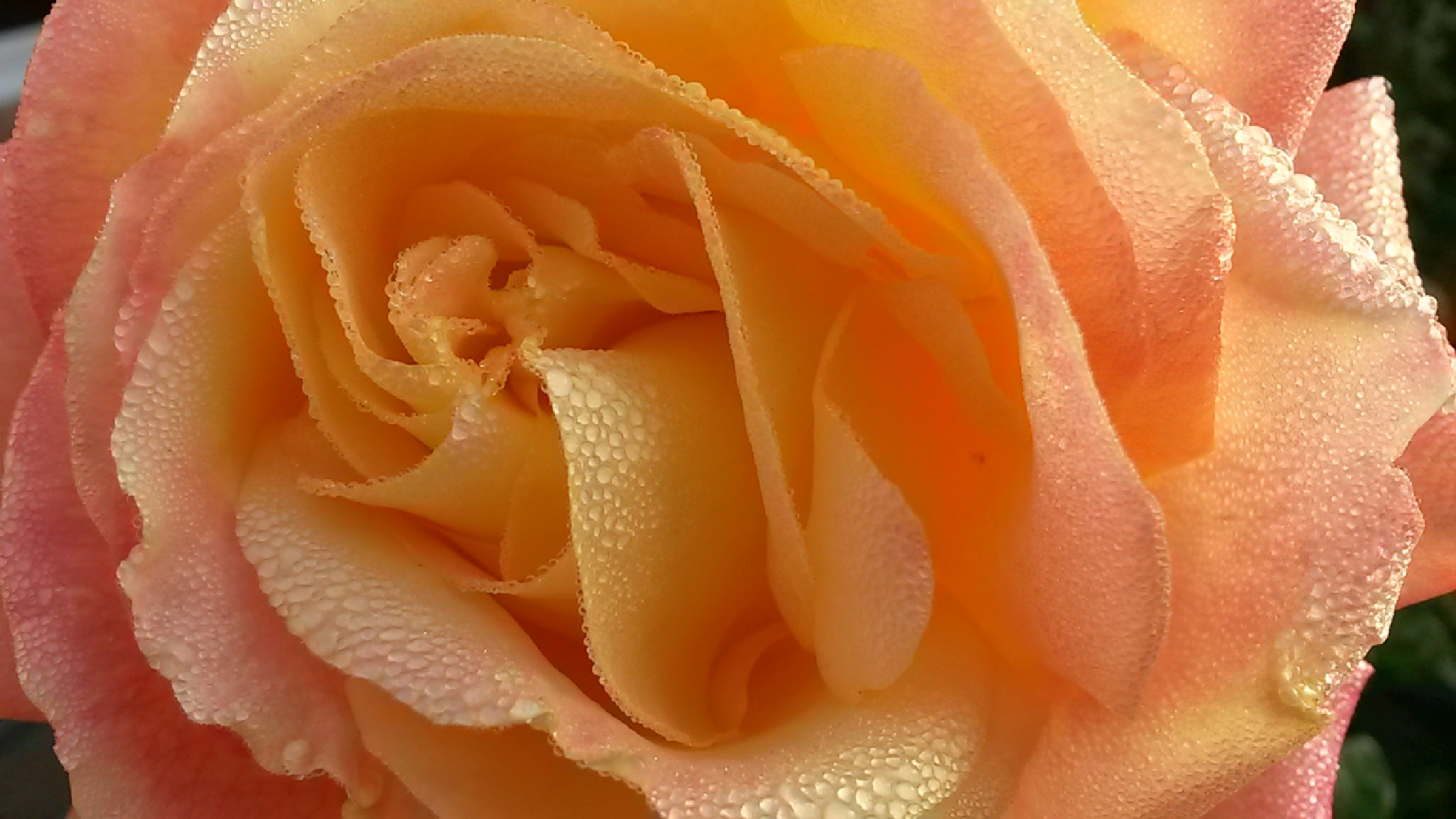 Une rose by H.Menthe