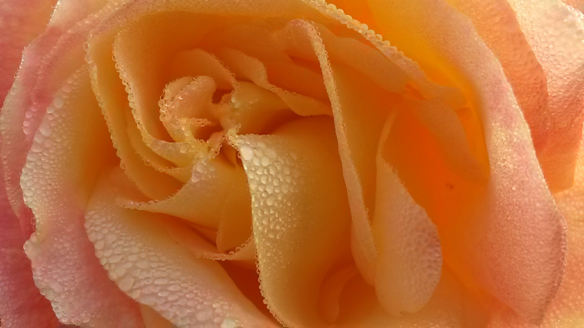 Une rose!  by H.Menthe