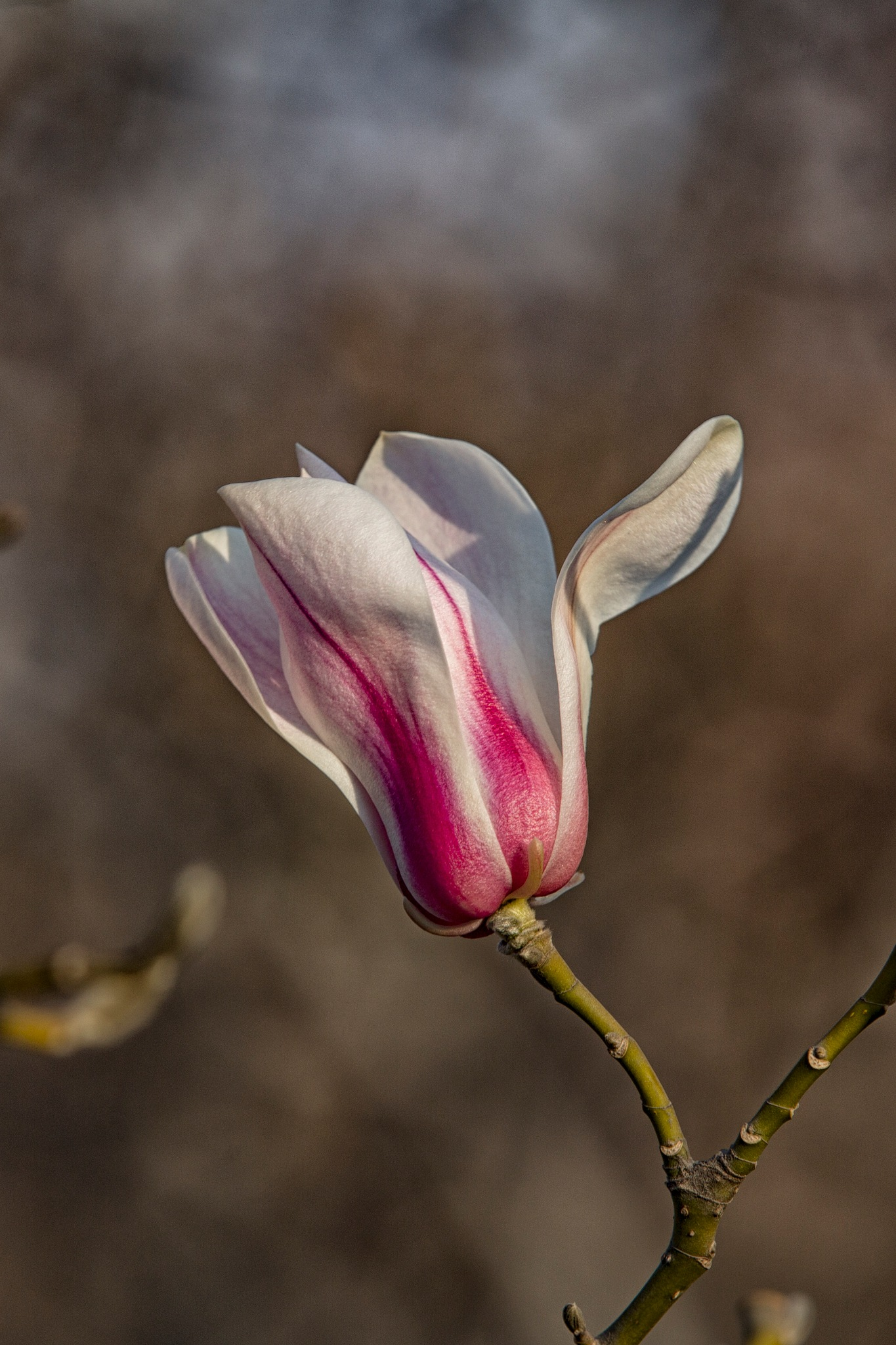 Magnolia by James zhao