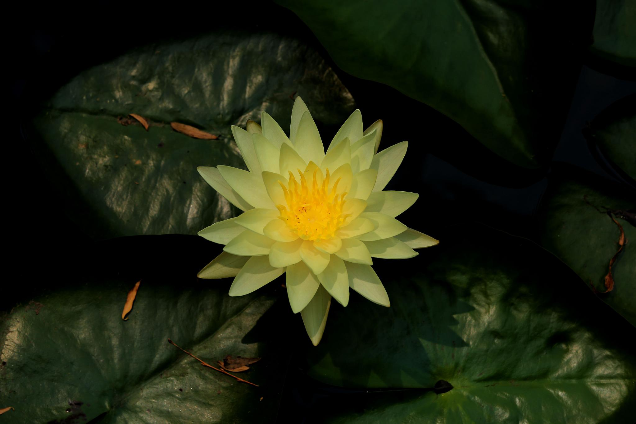 A golden water lily by James zhao