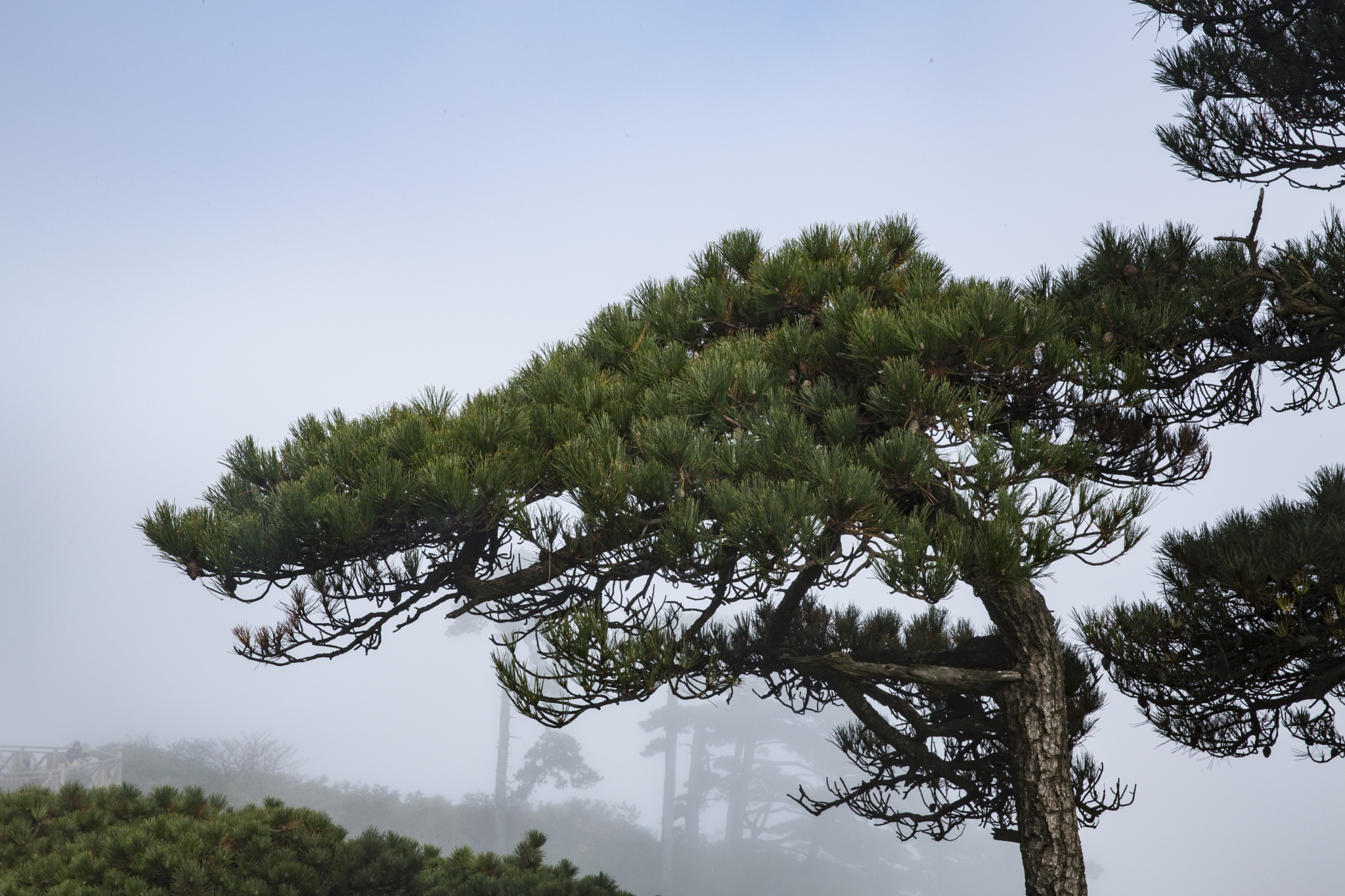 The pine tree on the Sanqing Mountain by James zhao