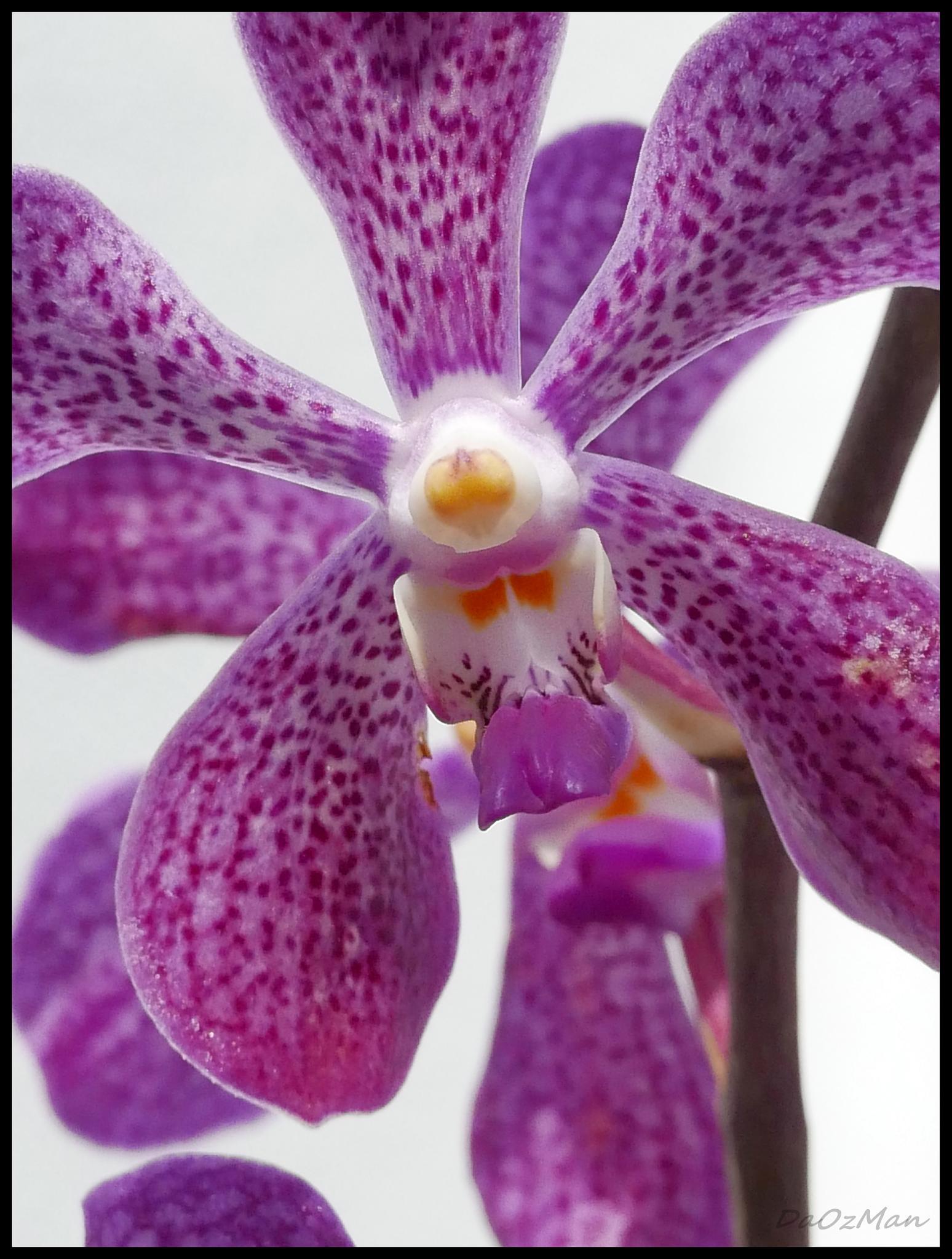 Unique Orchid by DaOzMan