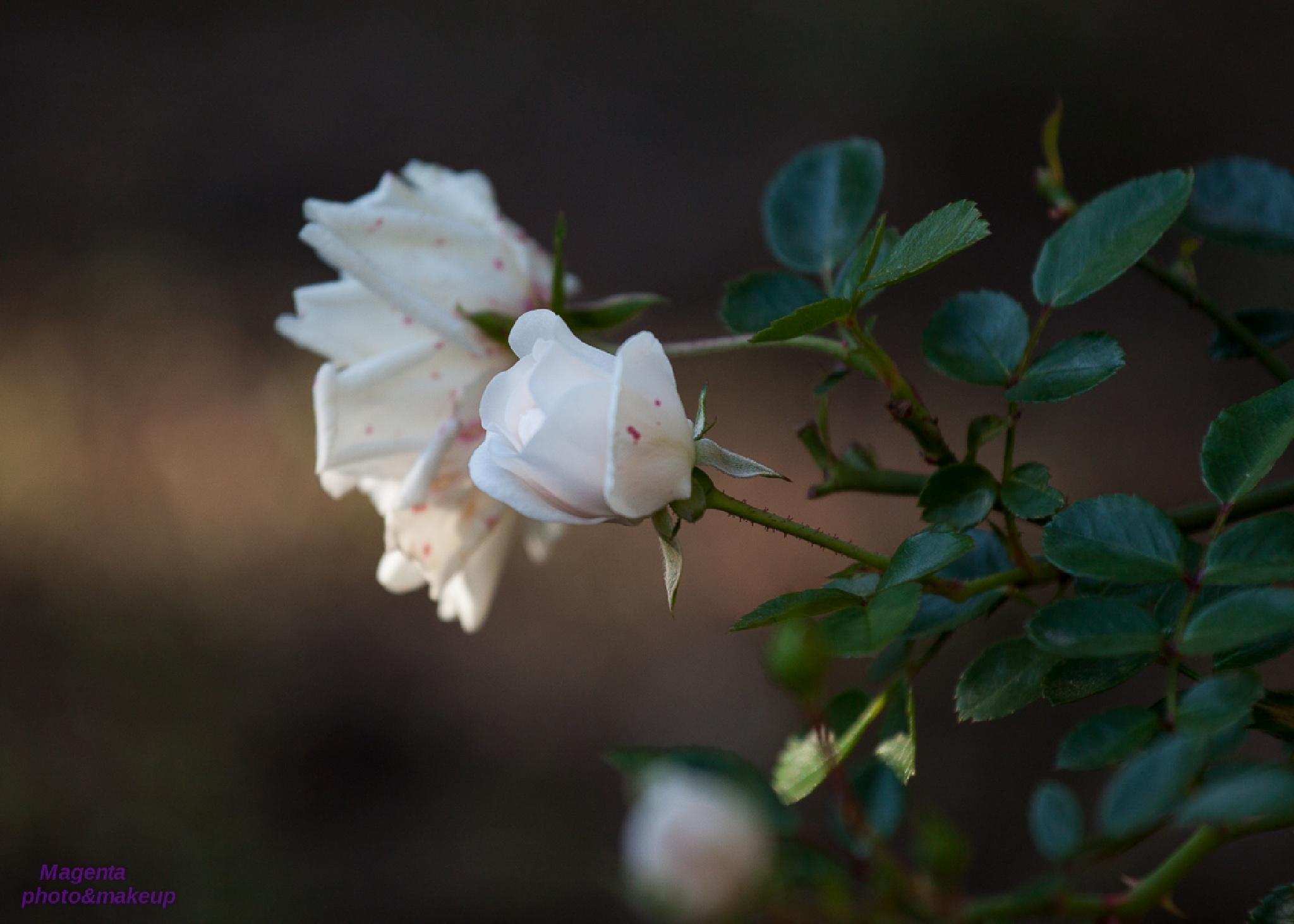 Autumn, ...roses by Kata Bartha