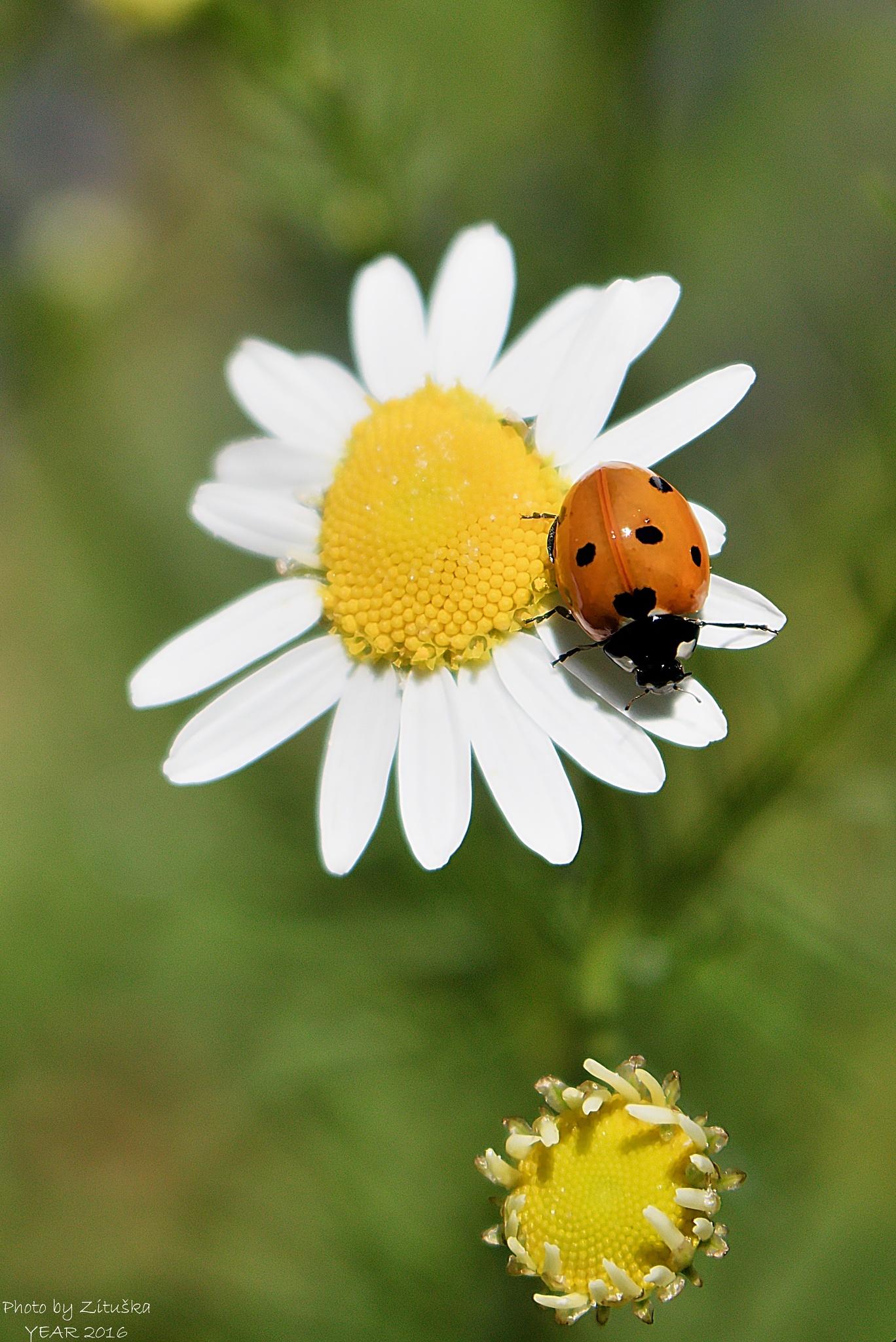 ladybug  by Zituska