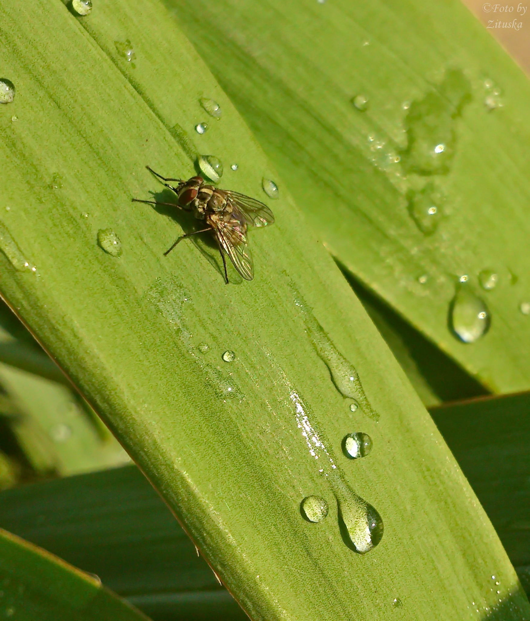 drops and a fly  by Zituska