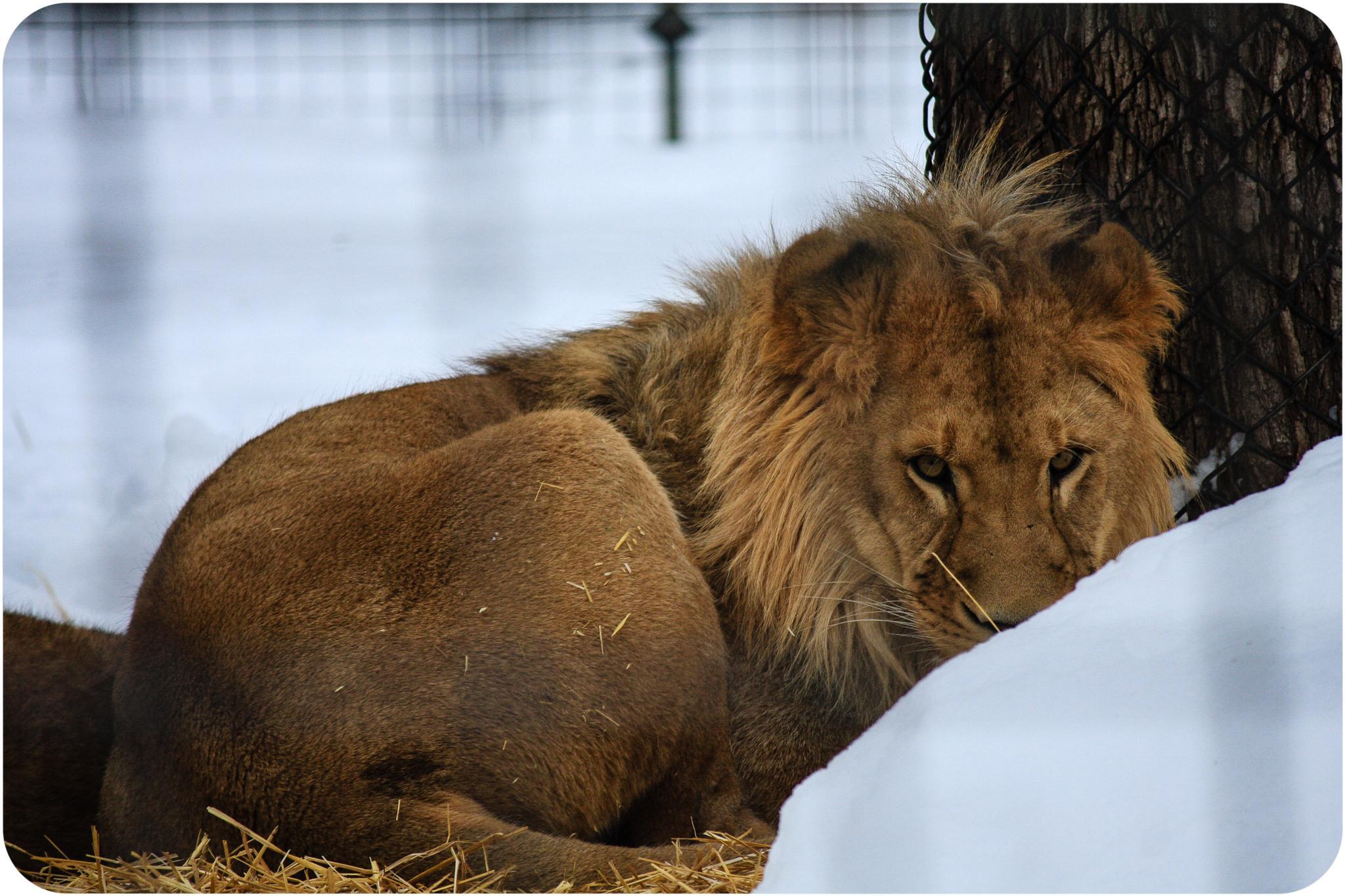 LION by Shelby Davis