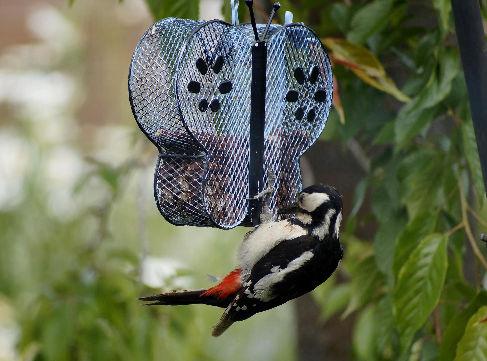 Great Spotted Woodpecker  by nicky.brighton