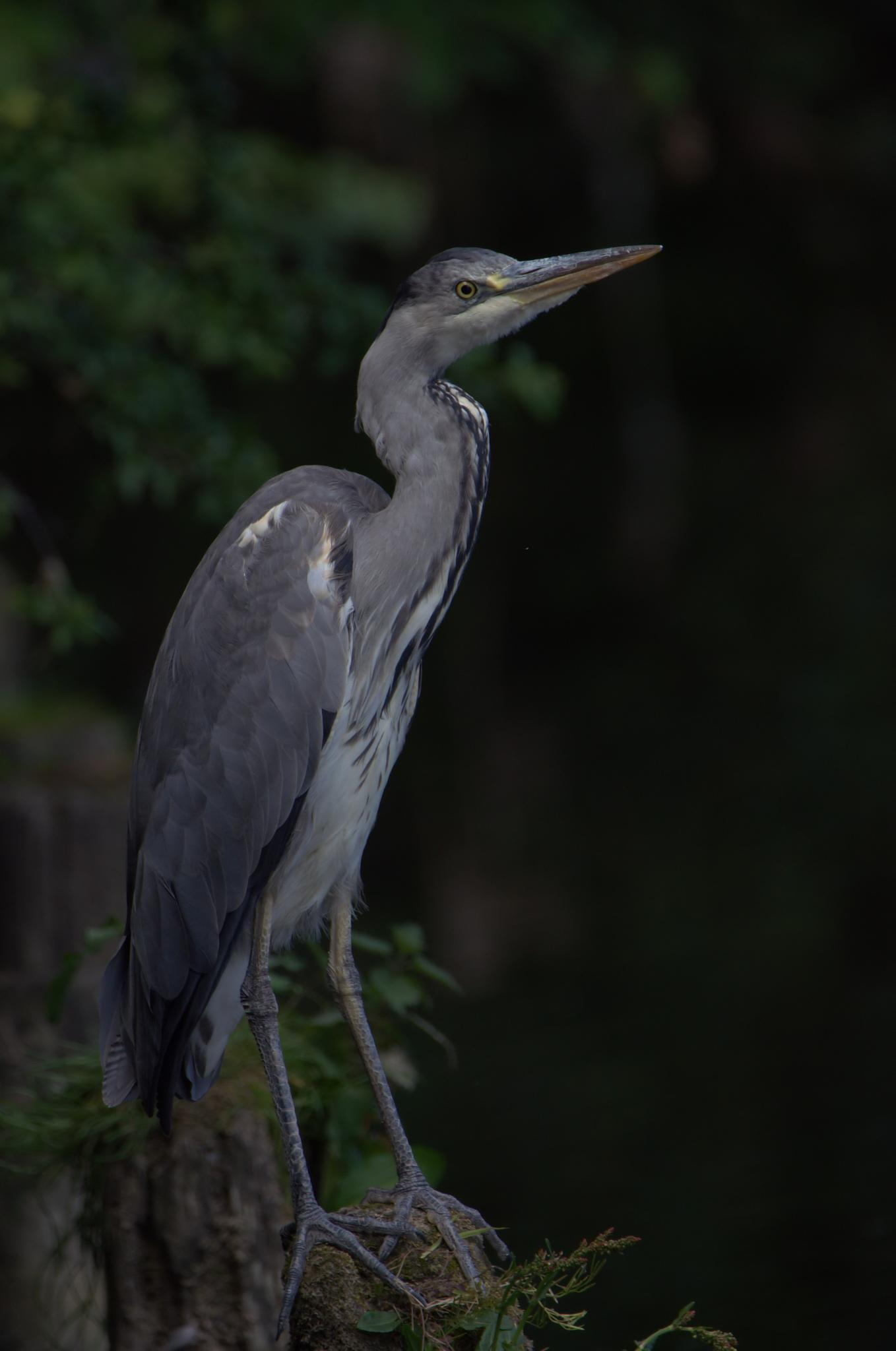 heron in the shadows by alan hillen