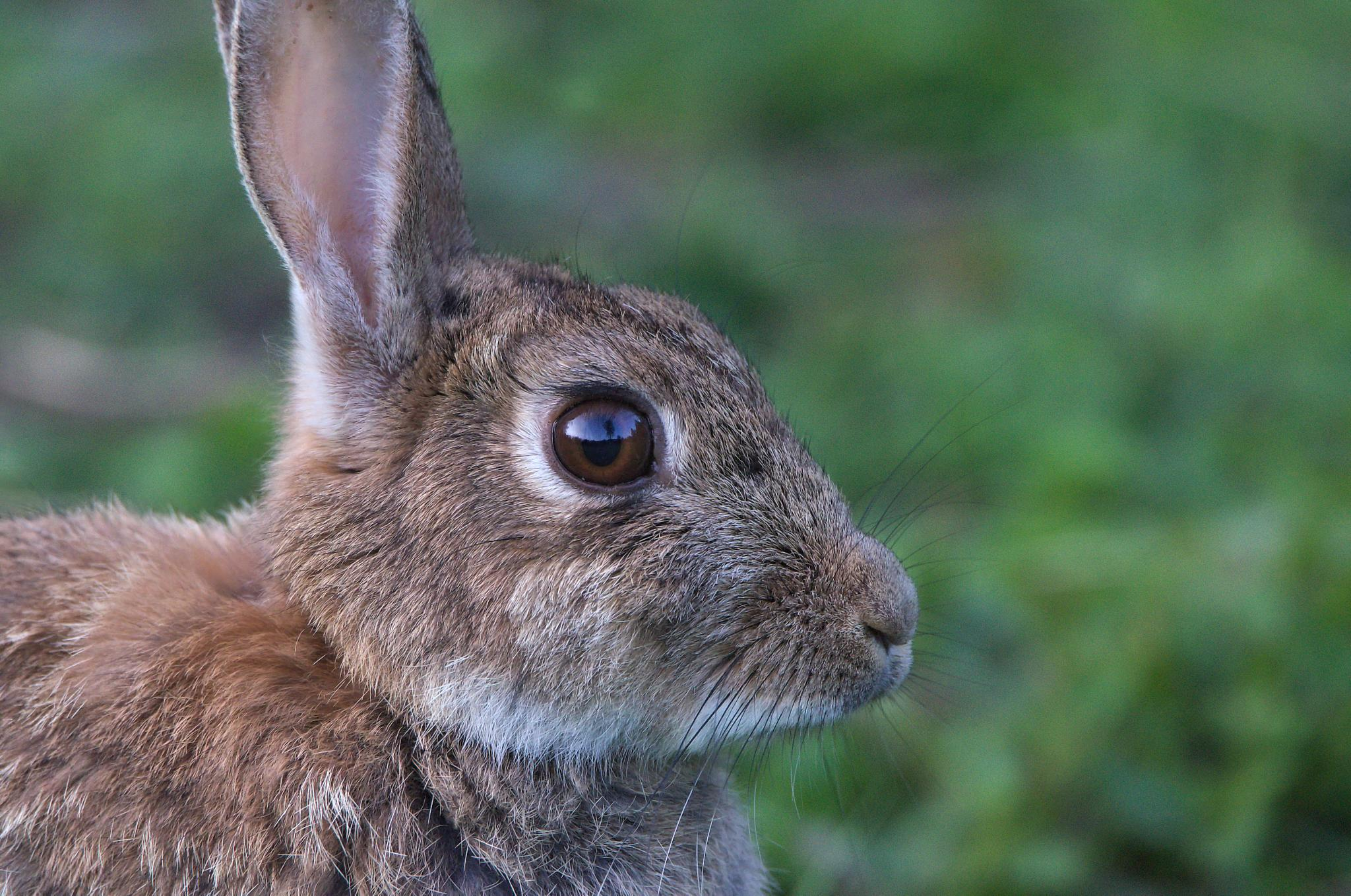 rabbit  by alan hillen