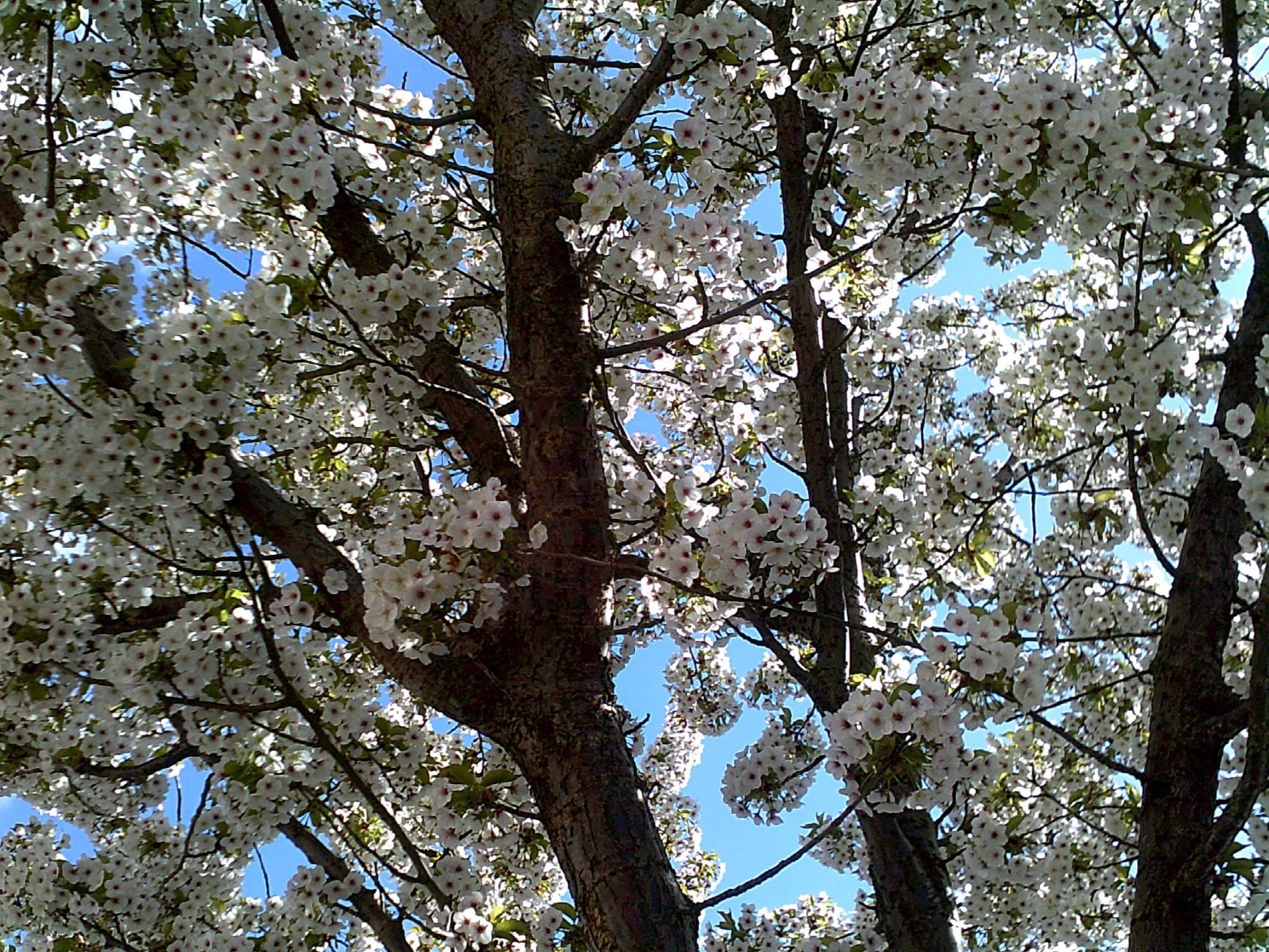 Photo in Nature #cherry #blossom #tree