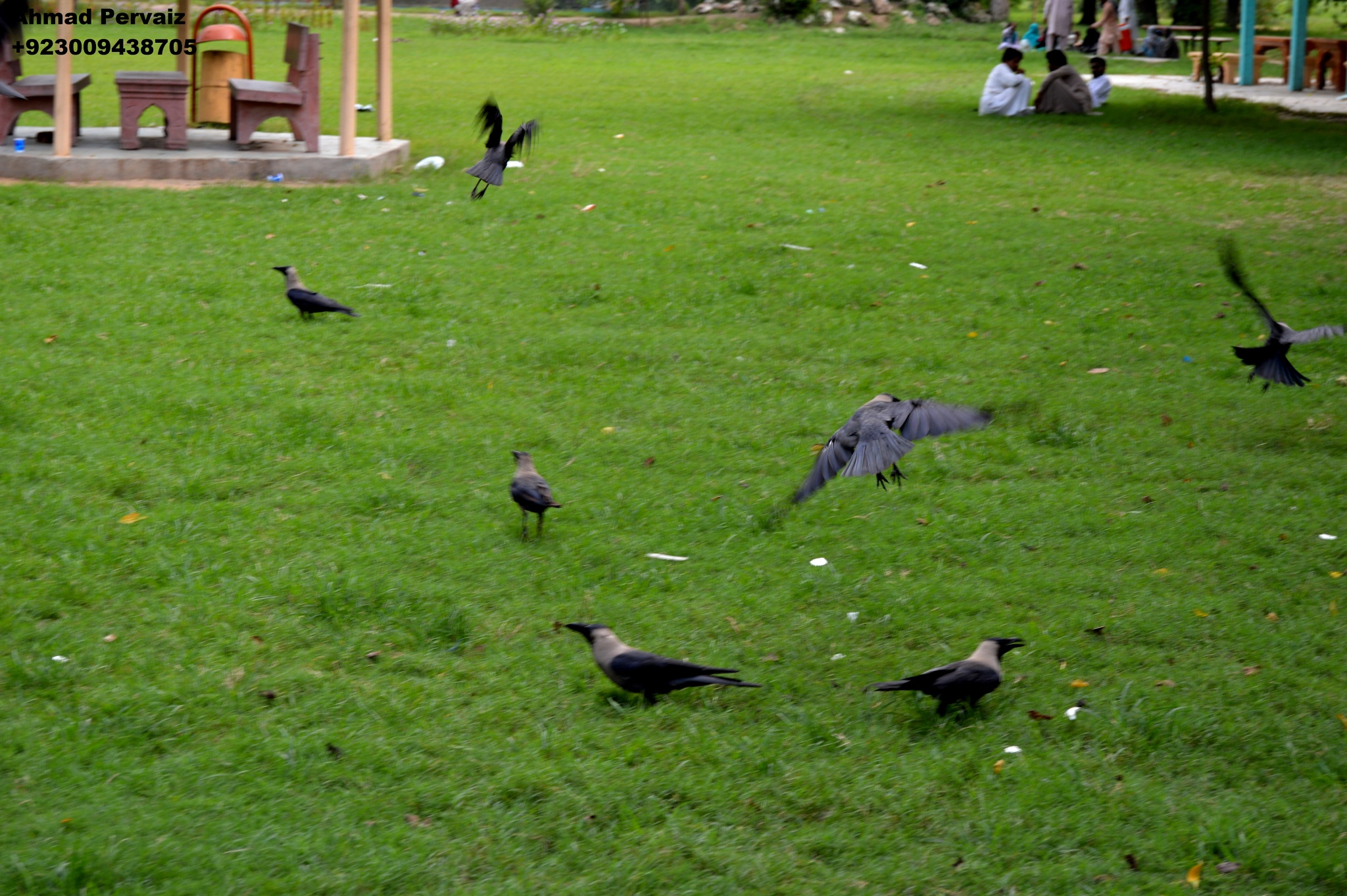 Crows  by pervaiz_jiu-jitsu