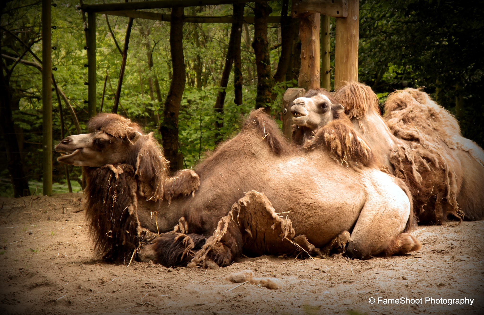 Camel's siesta.  by Fame Shoot Photography