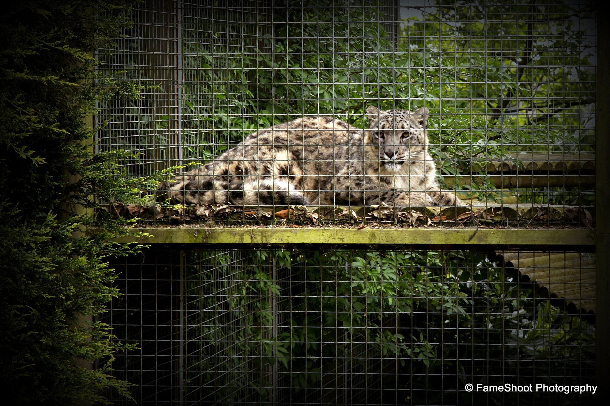 Photo in Animal #looking at #dudley #female #mum #watching #cage #uk #black country #animal #cat #zoo #snow leopard #day out #nature #visiting