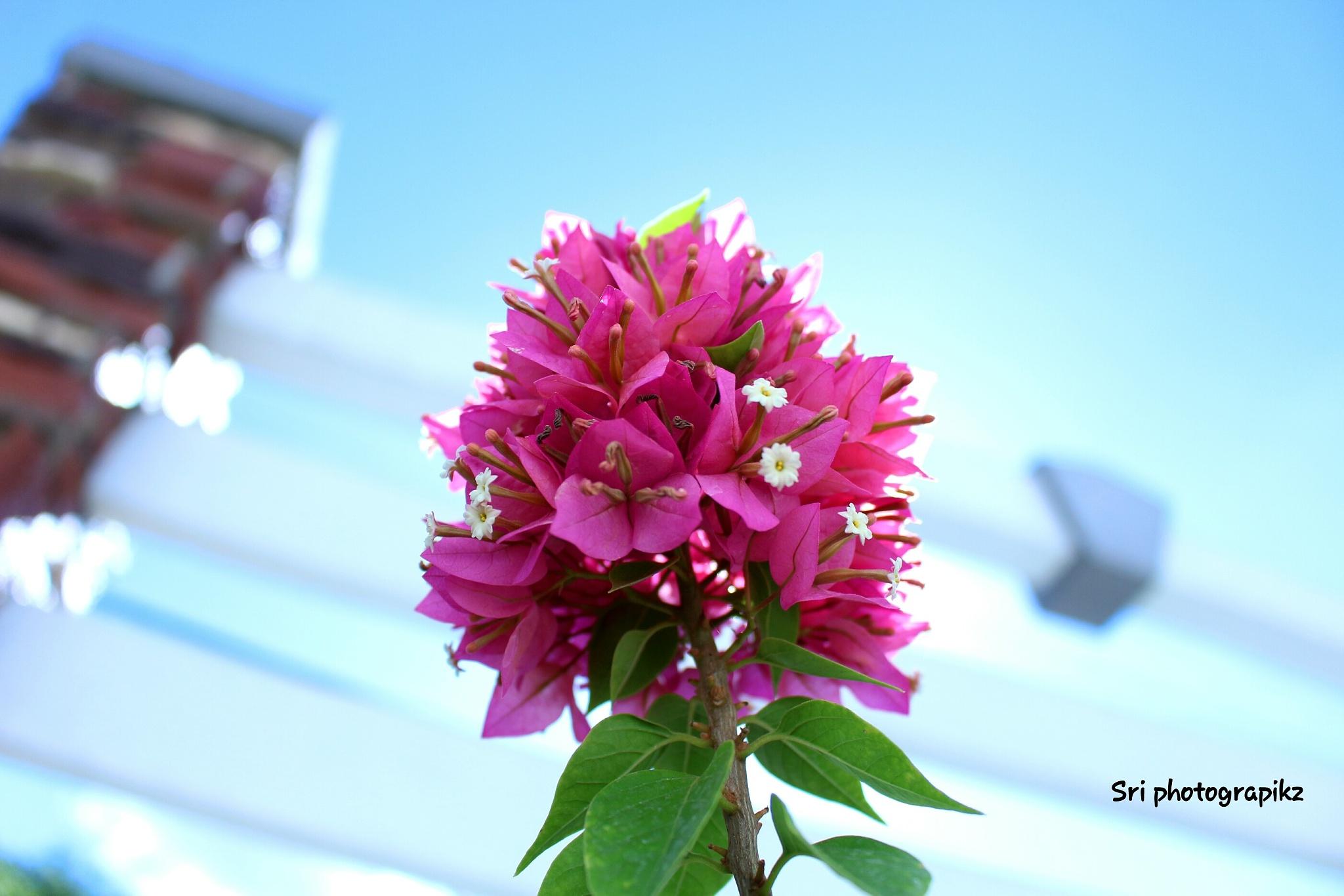 Bougainvillea flowers  by Jawahar srinath