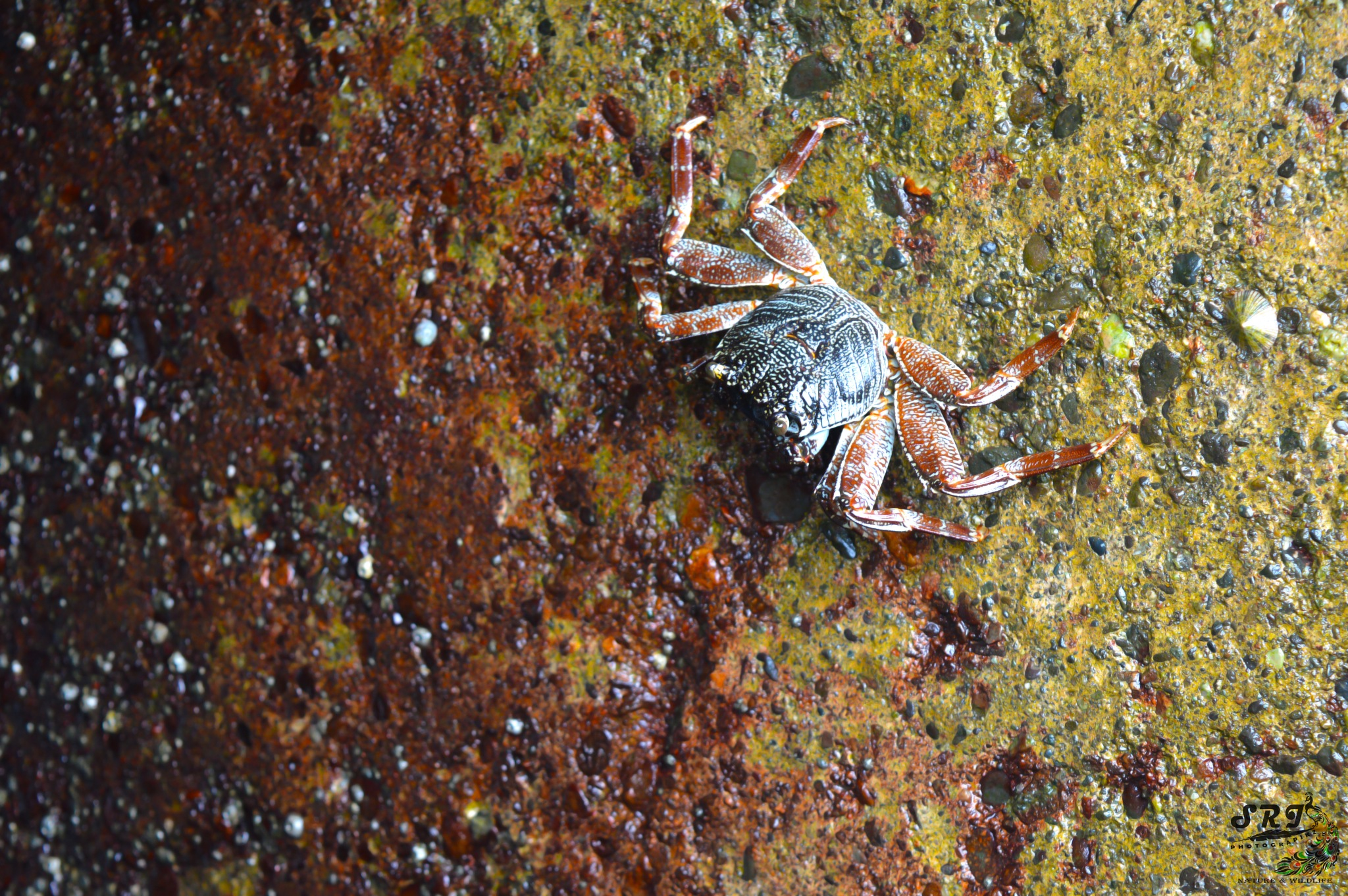 Sea crab by Jawahar srinath