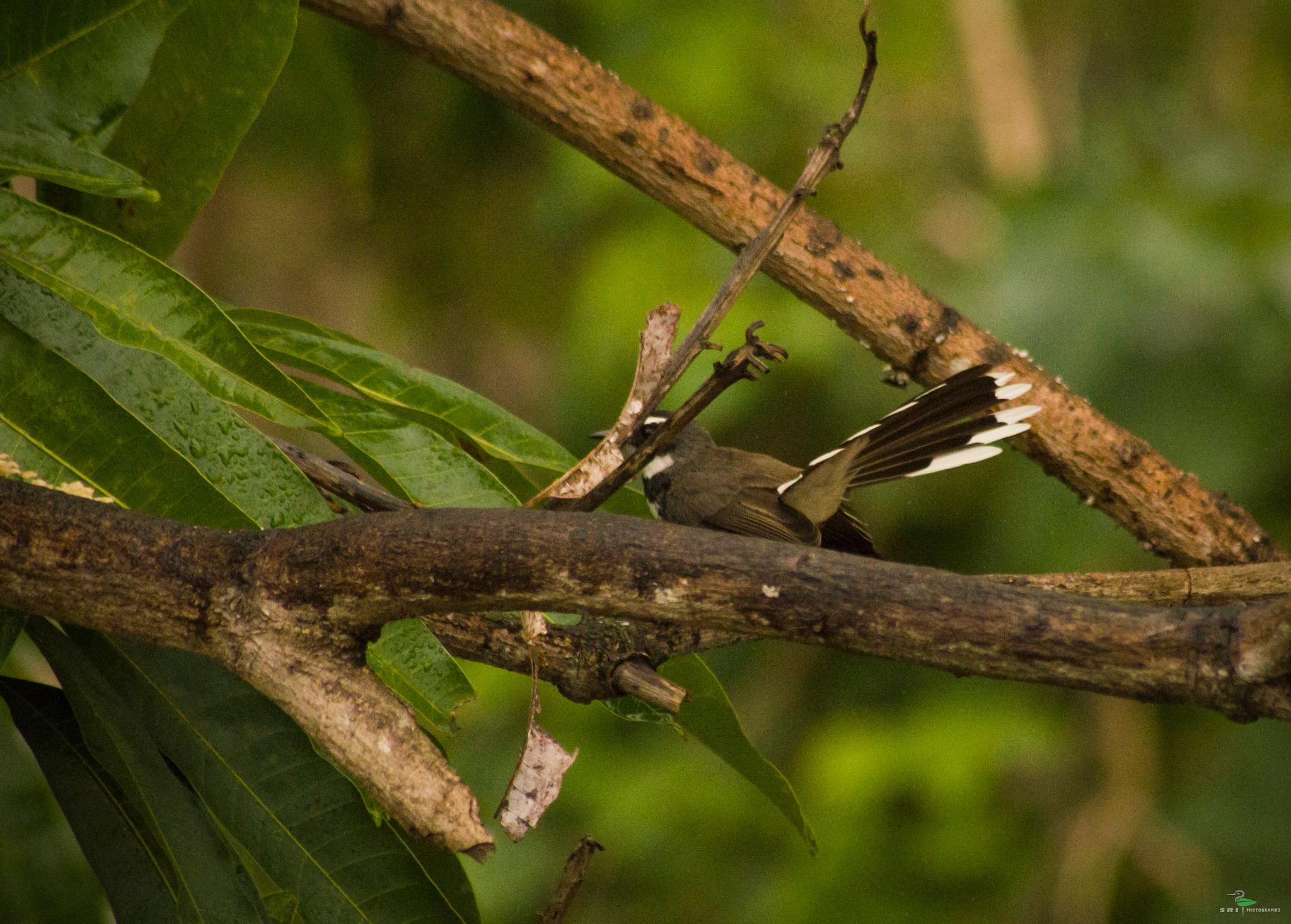 Fantail fly catcher by Jawahar srinath