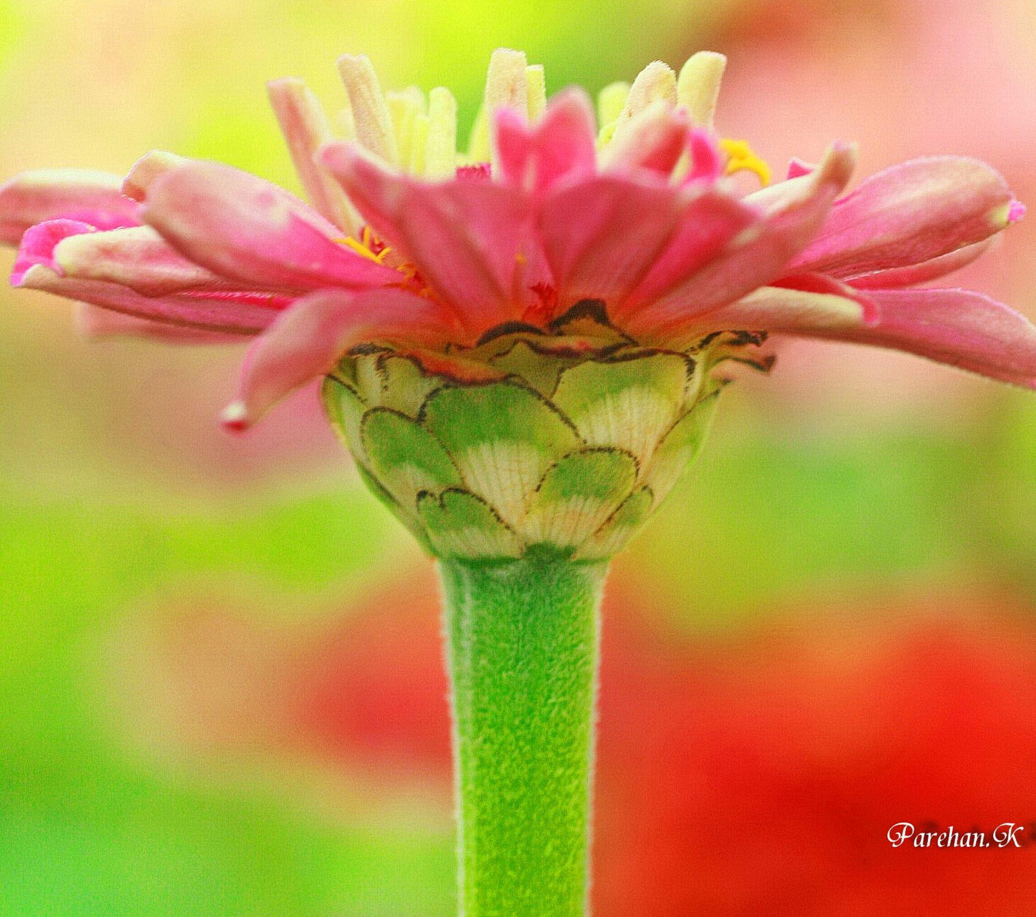 Pink Zinnia..  by parehan a komok